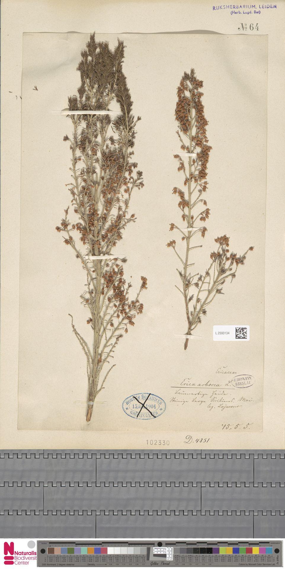 L.2593134 | Erica arborea L.