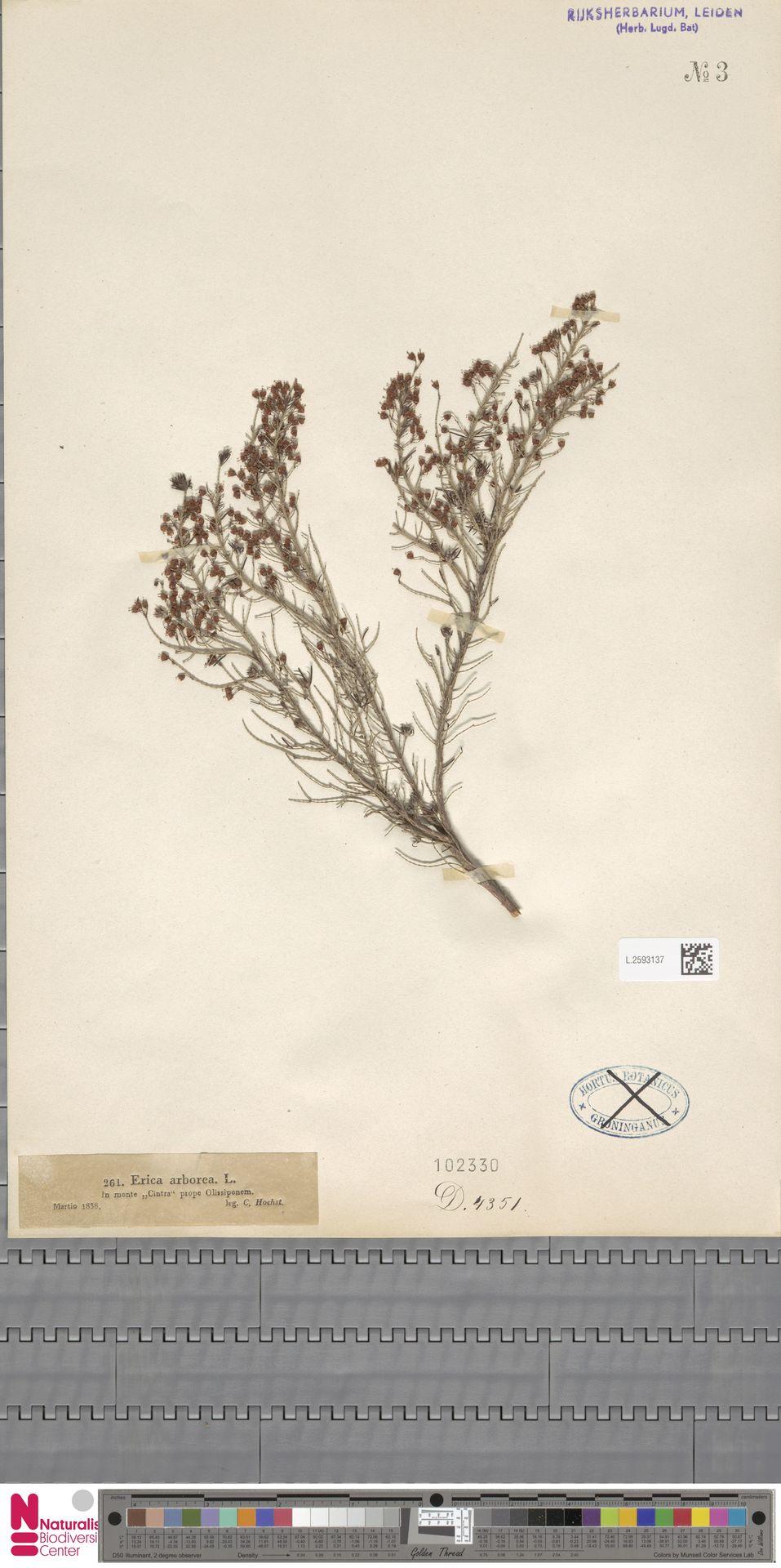L.2593137   Erica arborea L.