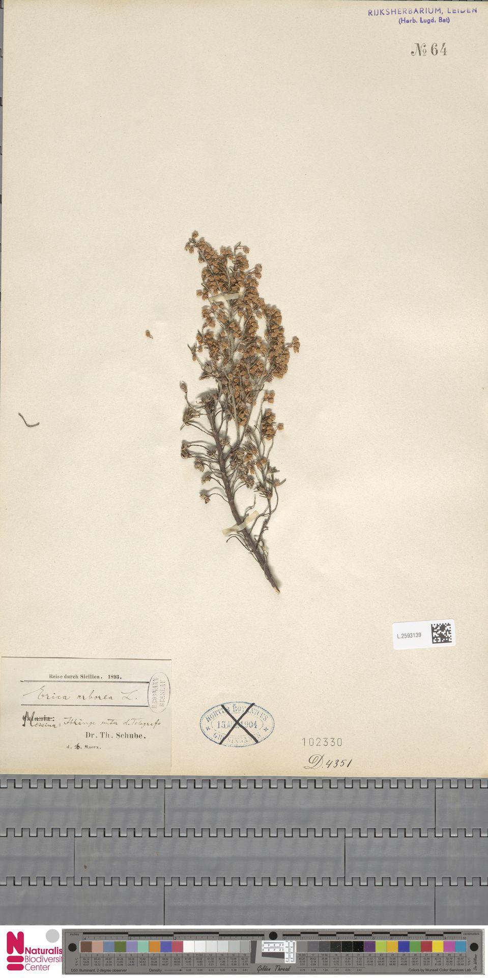 L.2593139 | Erica arborea L.