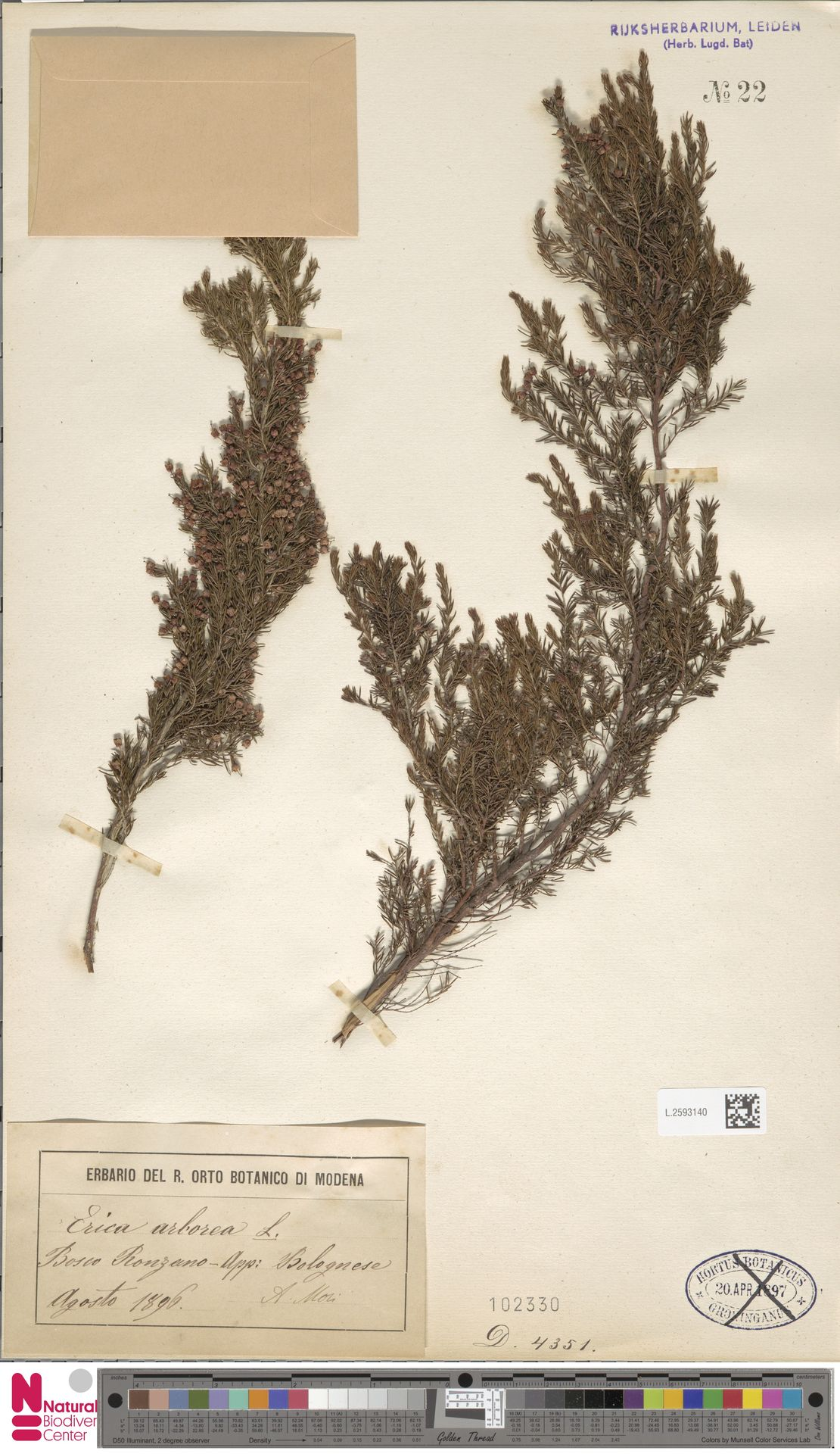 L.2593140   Erica arborea L.