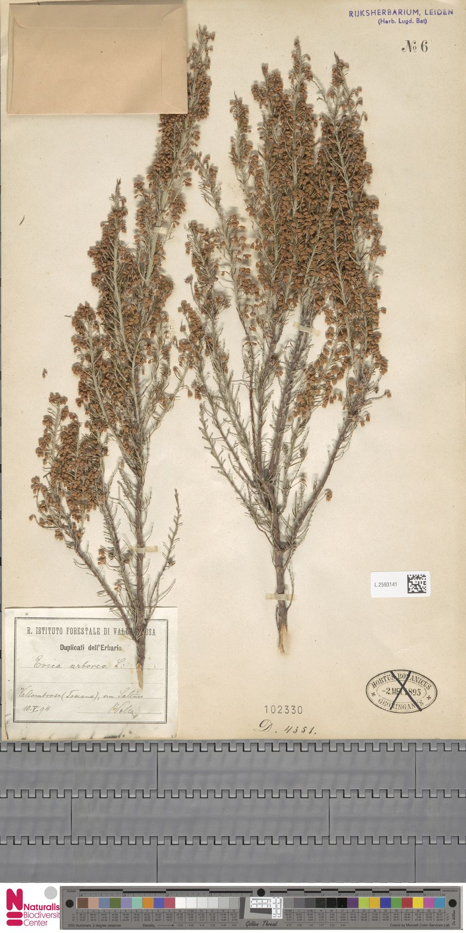 L.2593141 | Erica arborea L.