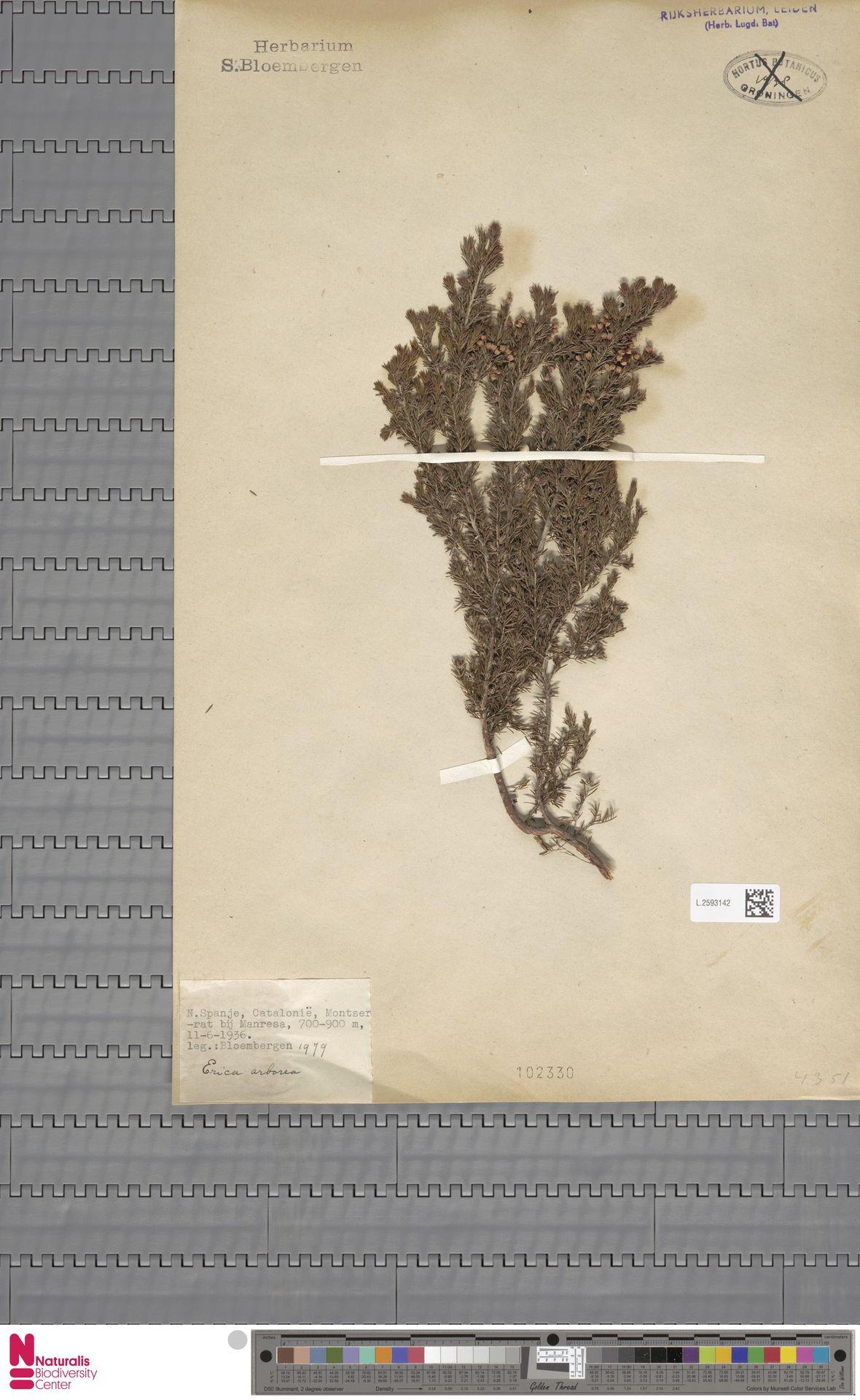L.2593142 | Erica arborea L.