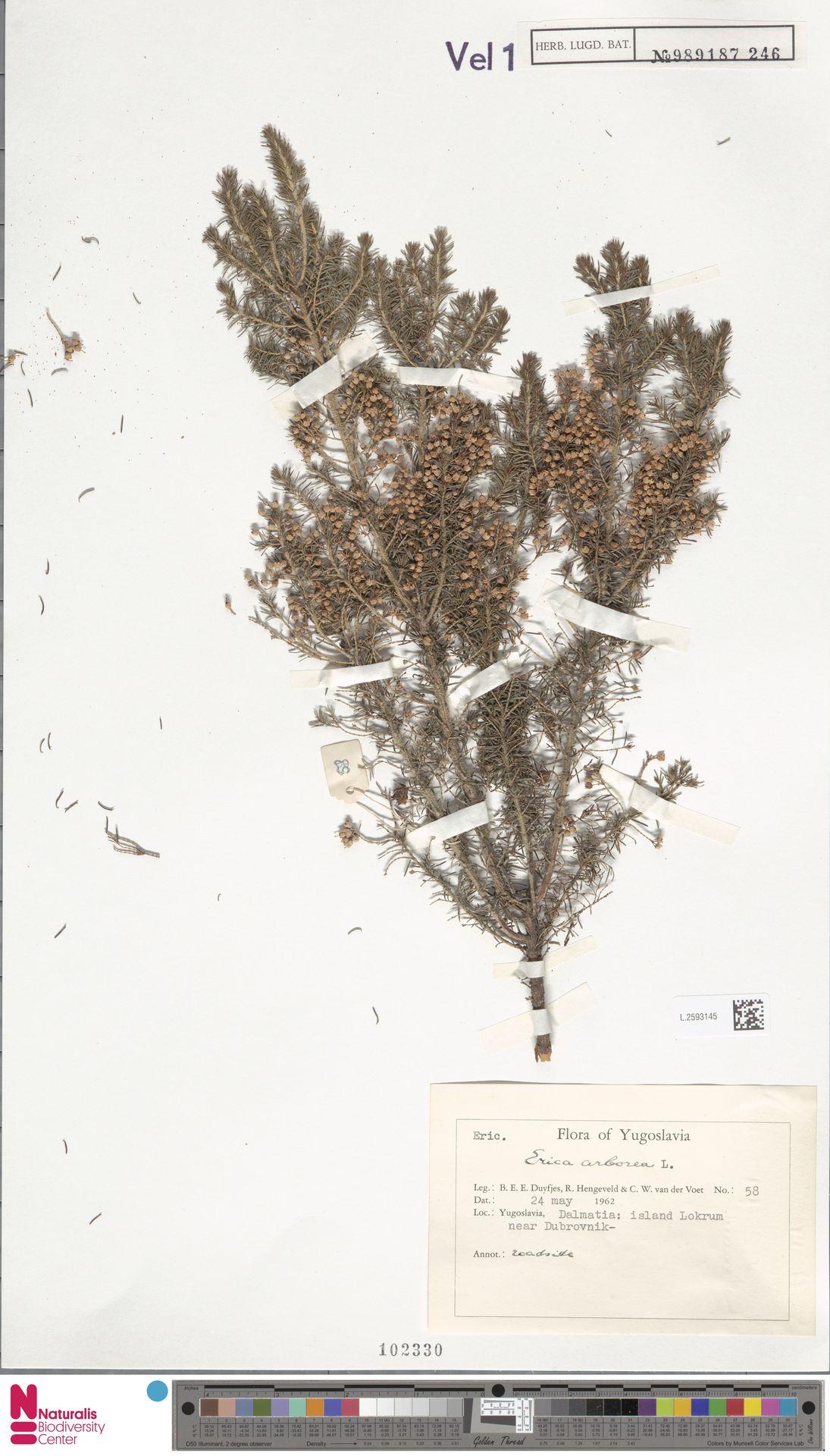 L.2593145 | Erica arborea L.
