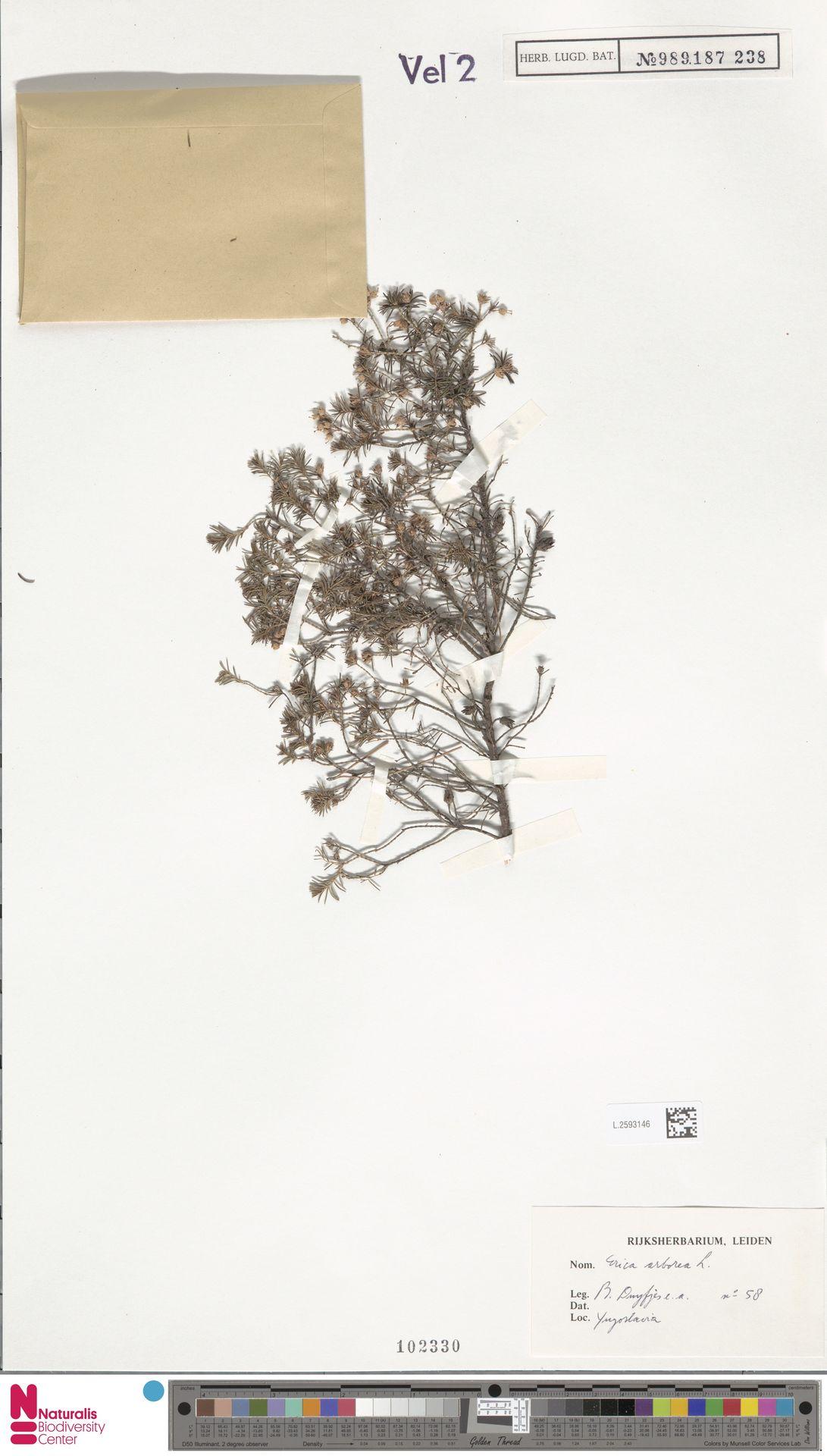 L.2593146 | Erica arborea L.