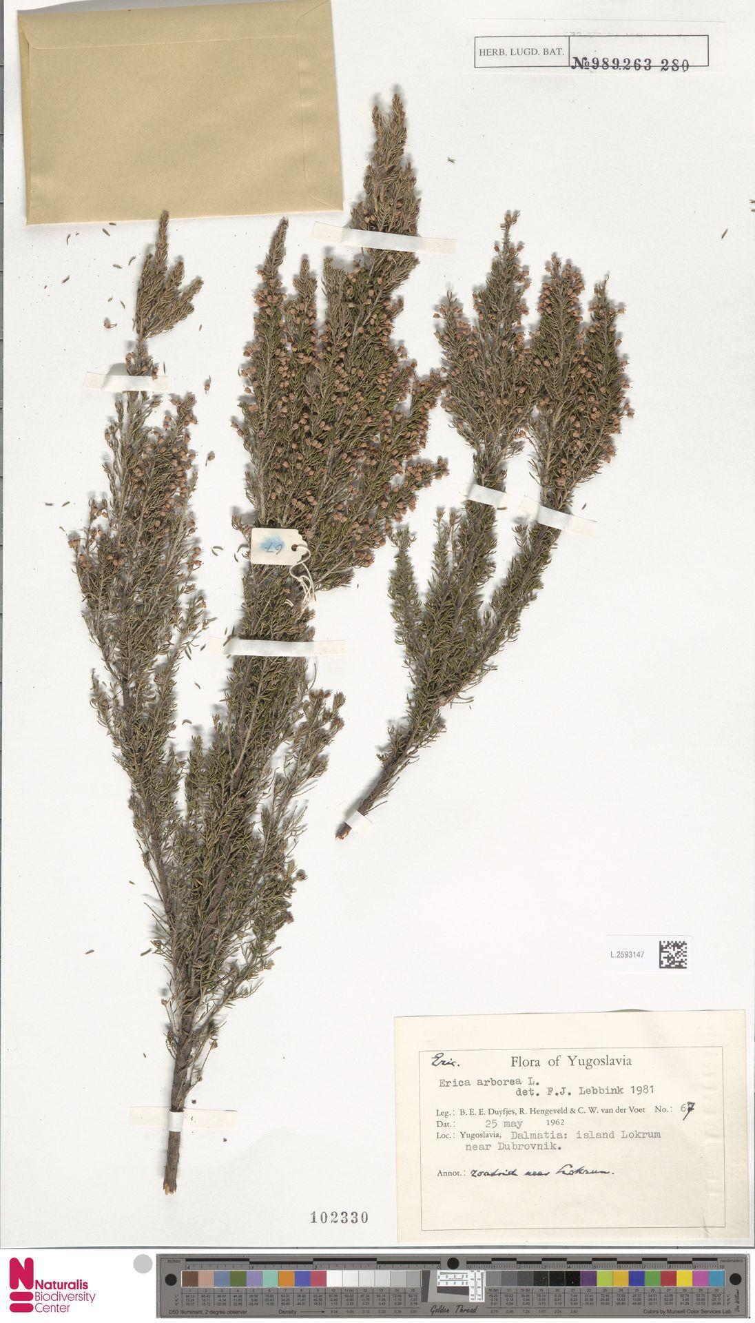 L.2593147 | Erica arborea L.