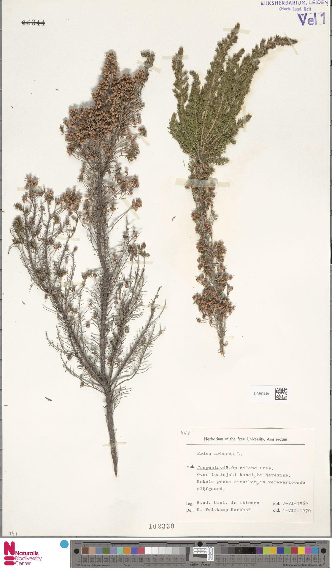 L.2593149 | Erica arborea L.