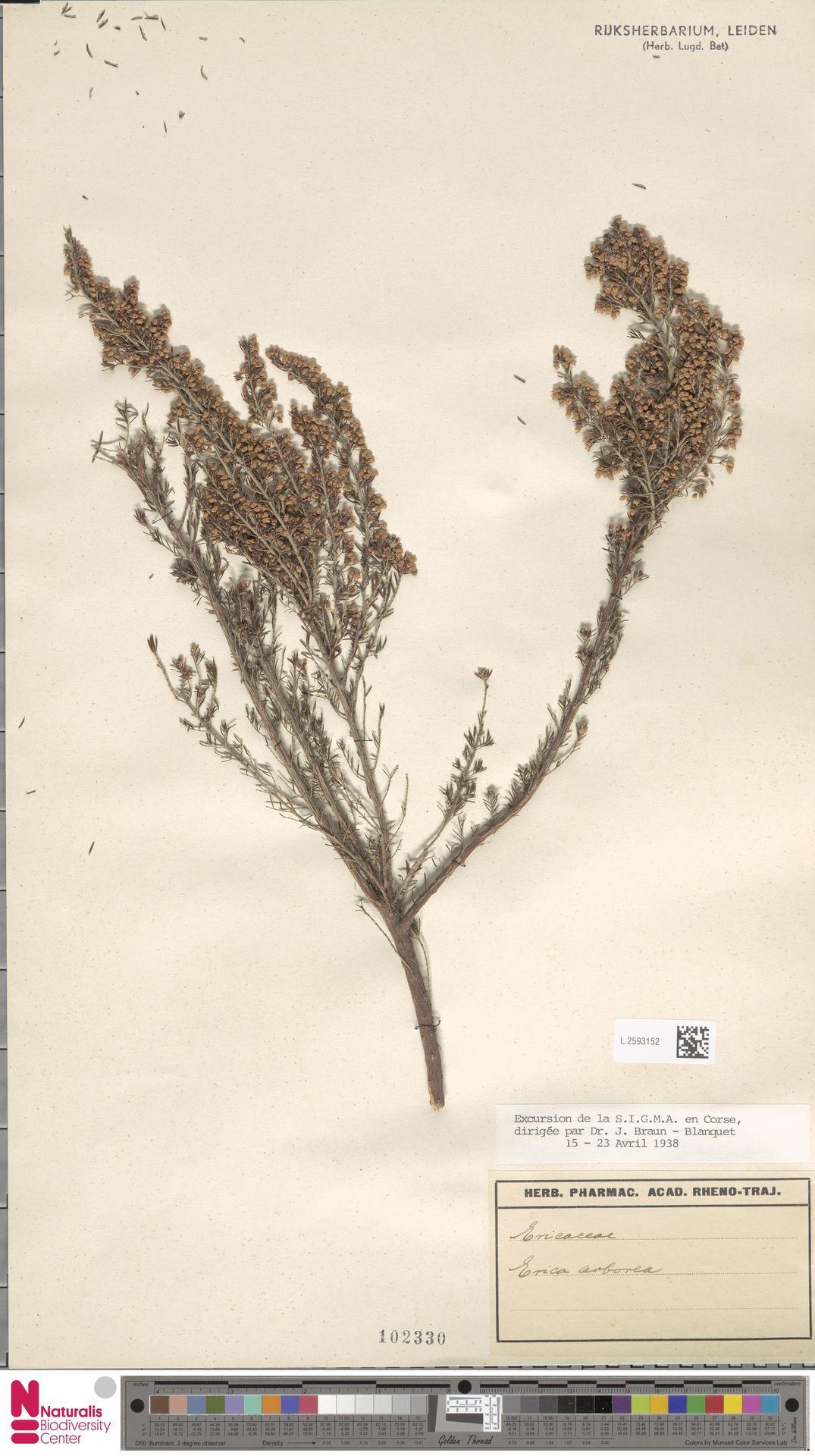 L.2593152   Erica arborea L.