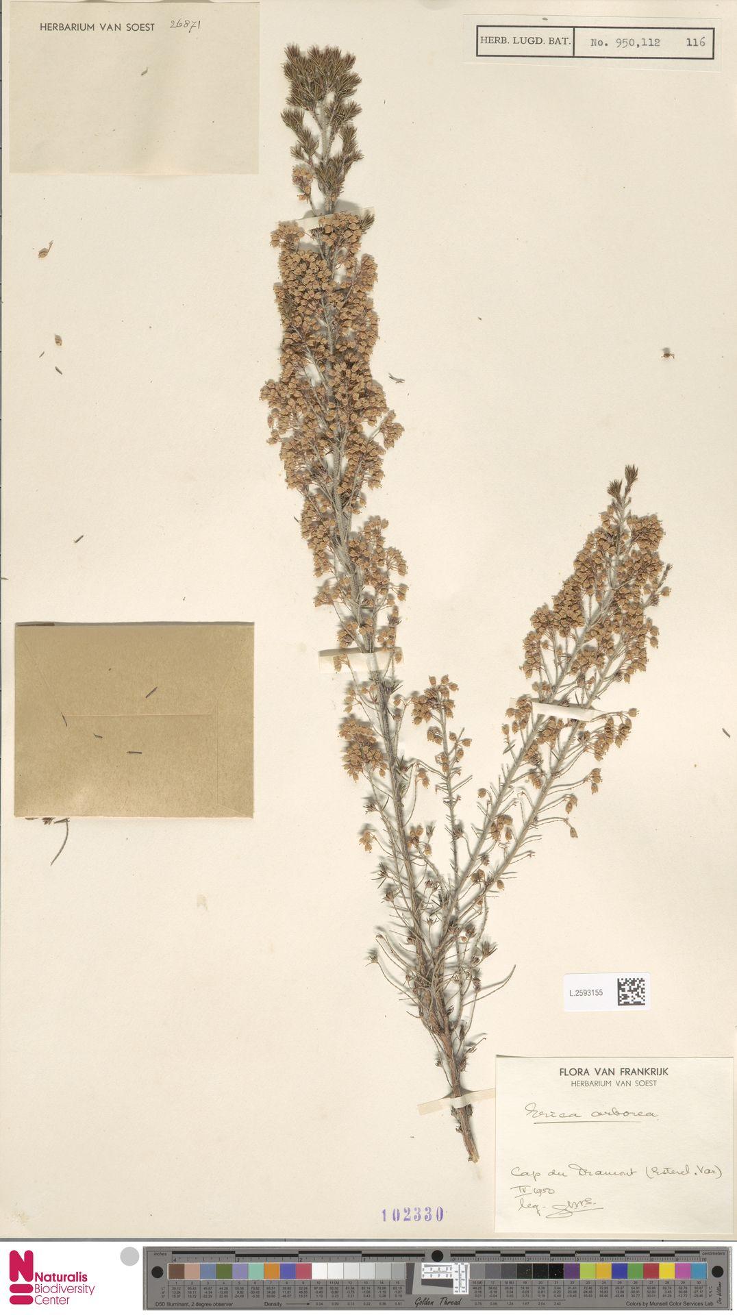 L.2593155 | Erica arborea L.