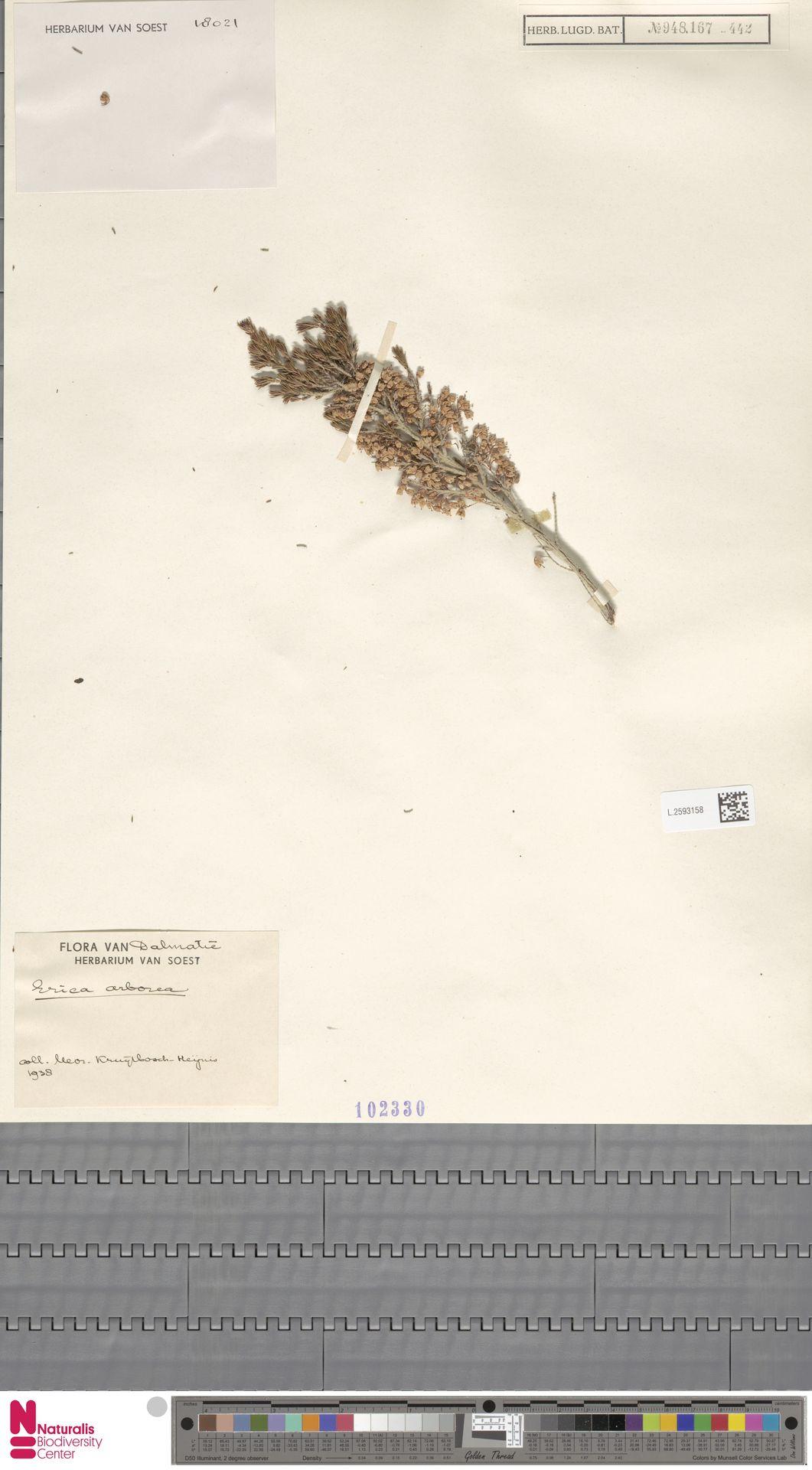 L.2593158 | Erica arborea L.