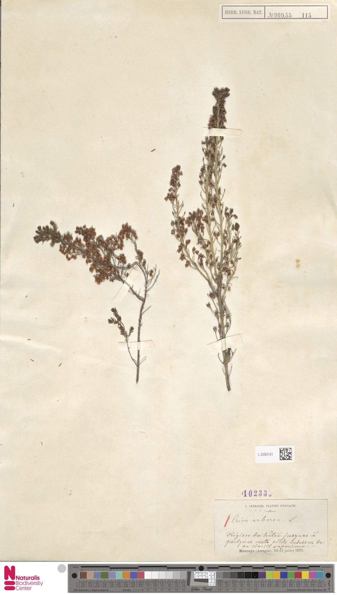 L.2593161 | Erica arborea L.
