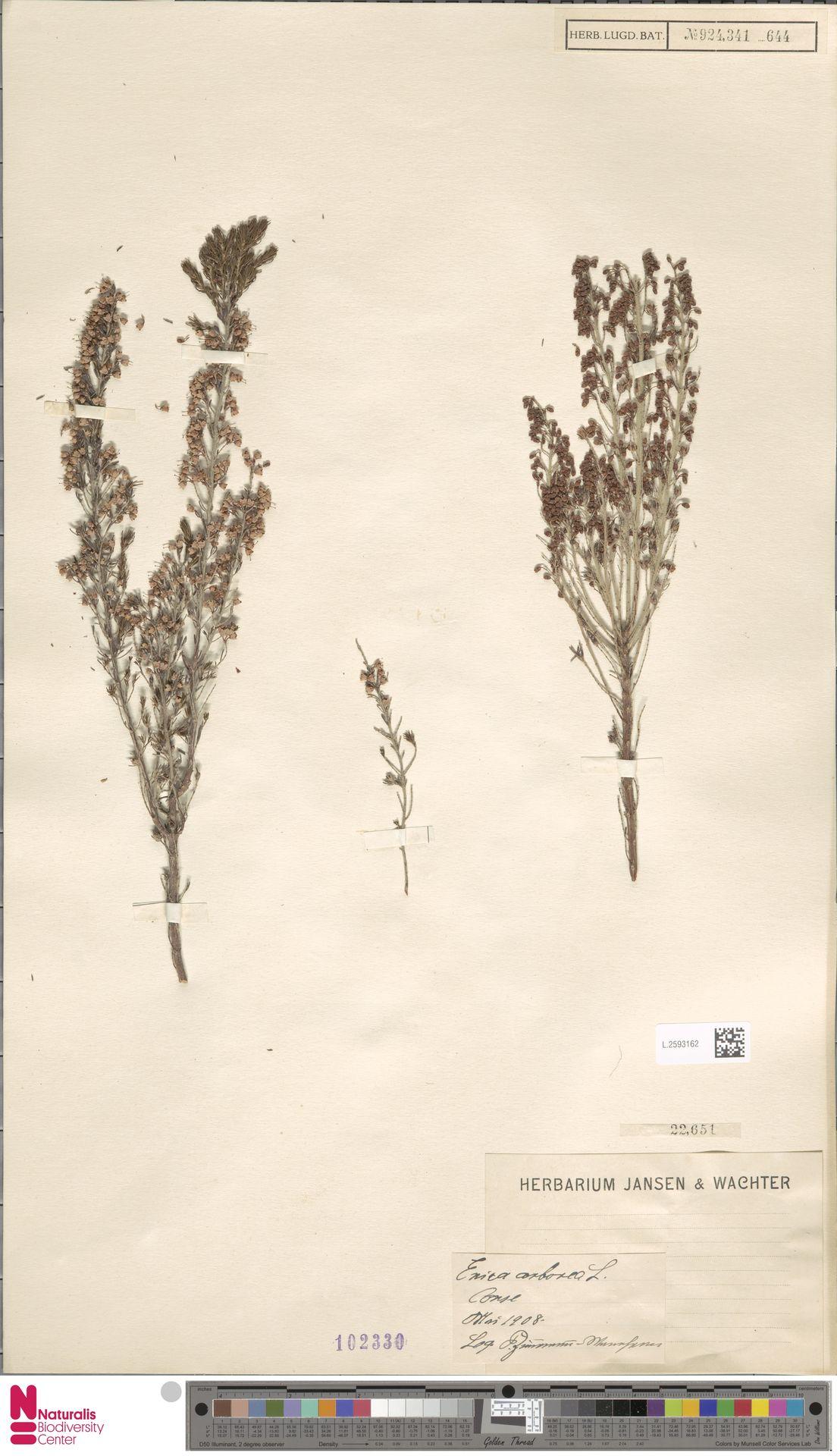 L.2593162 | Erica arborea L.