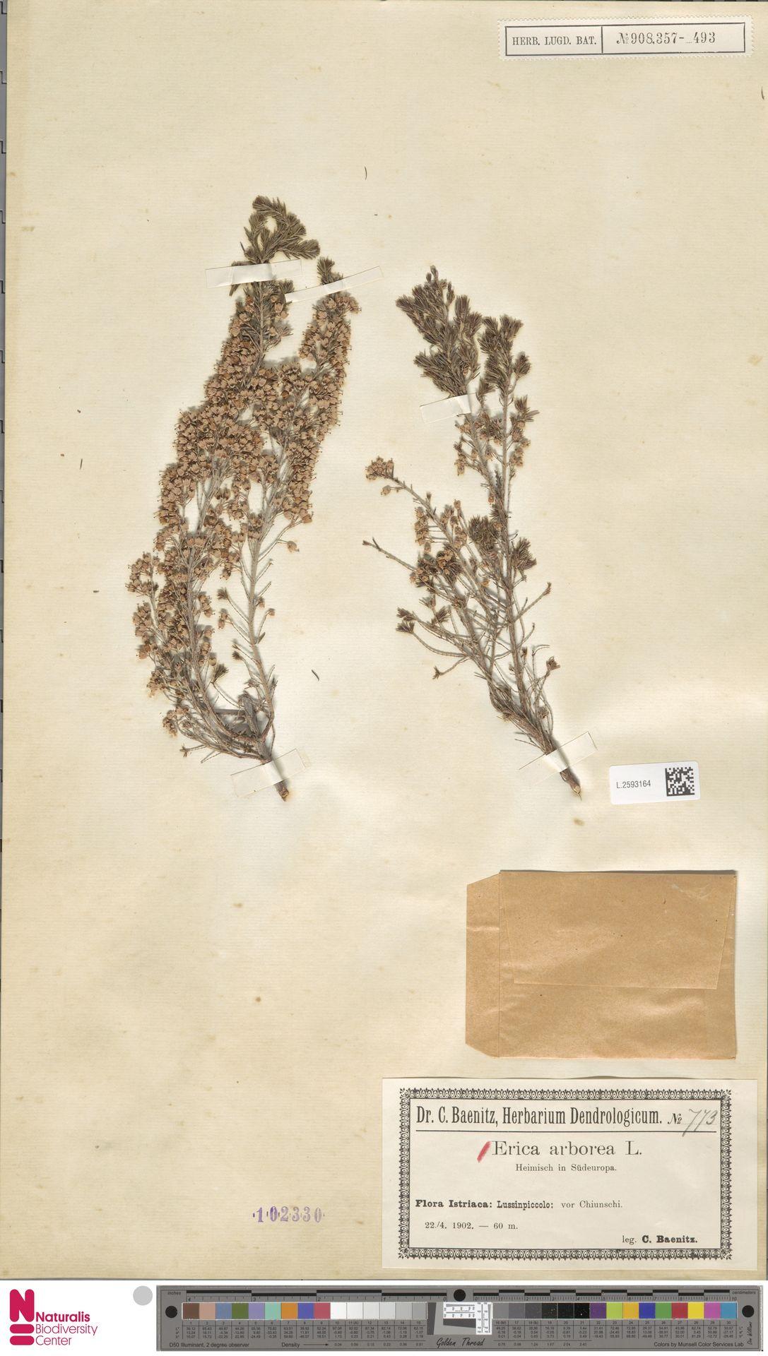 L.2593164 | Erica arborea L.