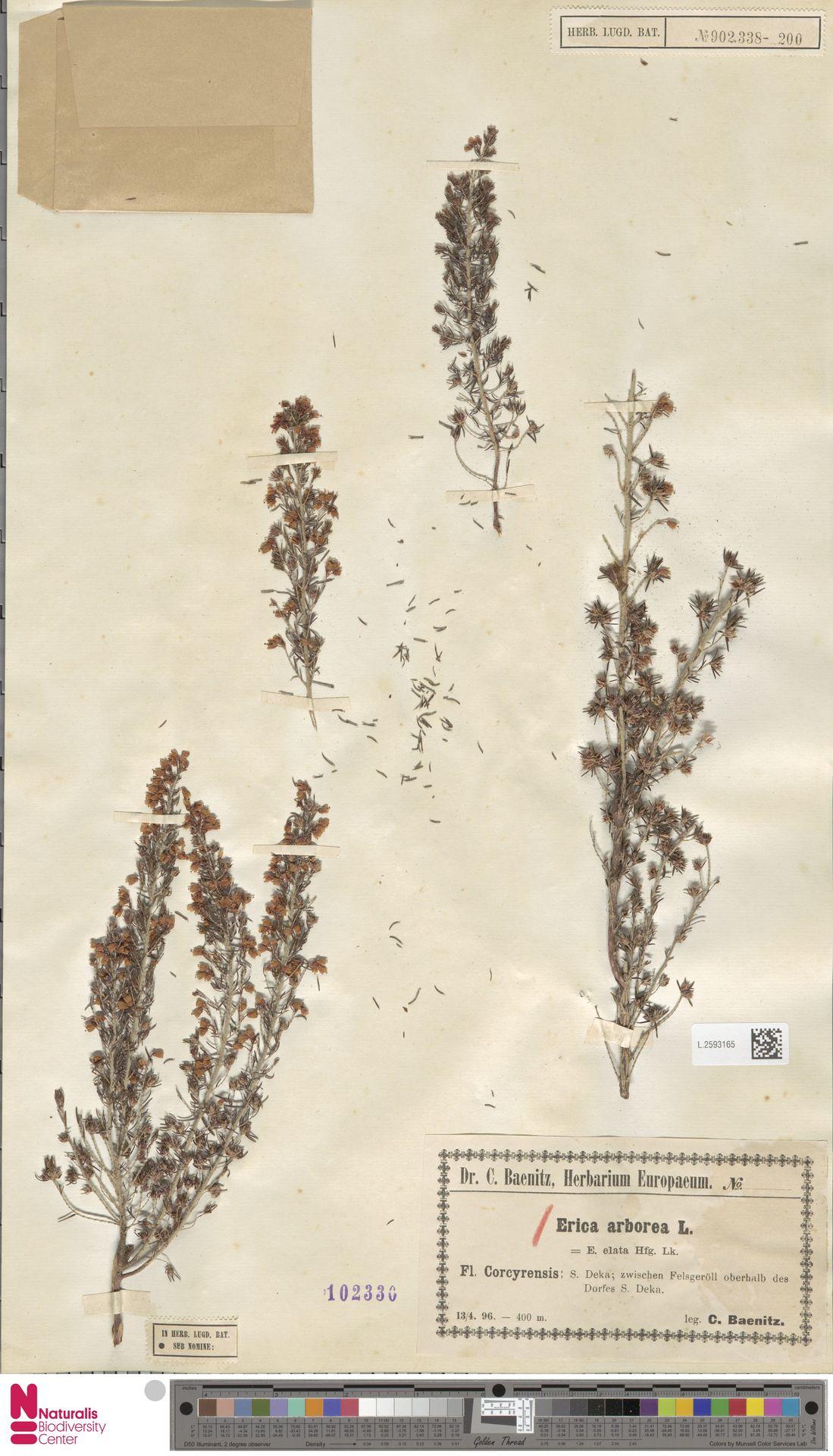 L.2593165   Erica arborea L.