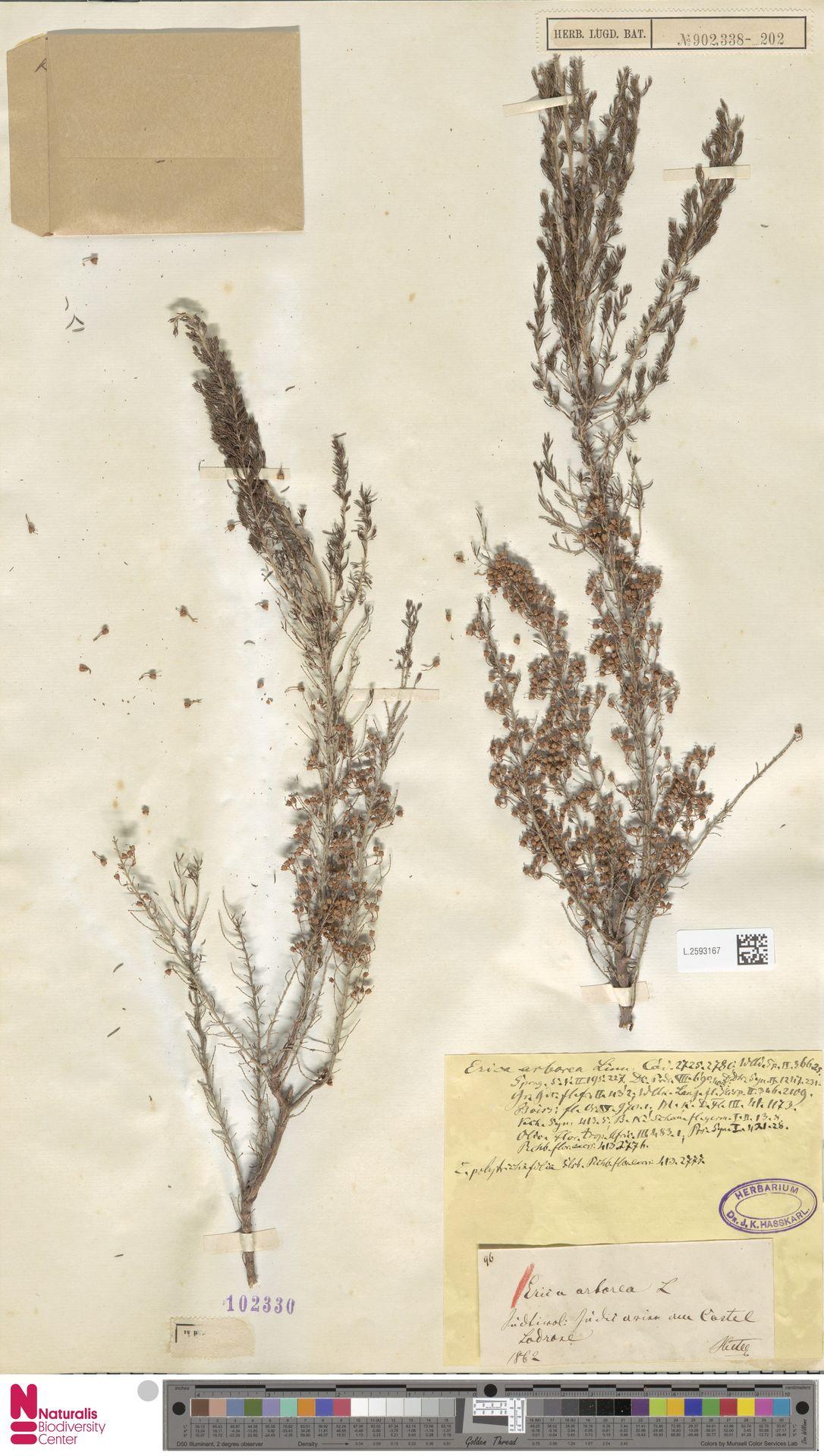 L.2593167 | Erica arborea L.