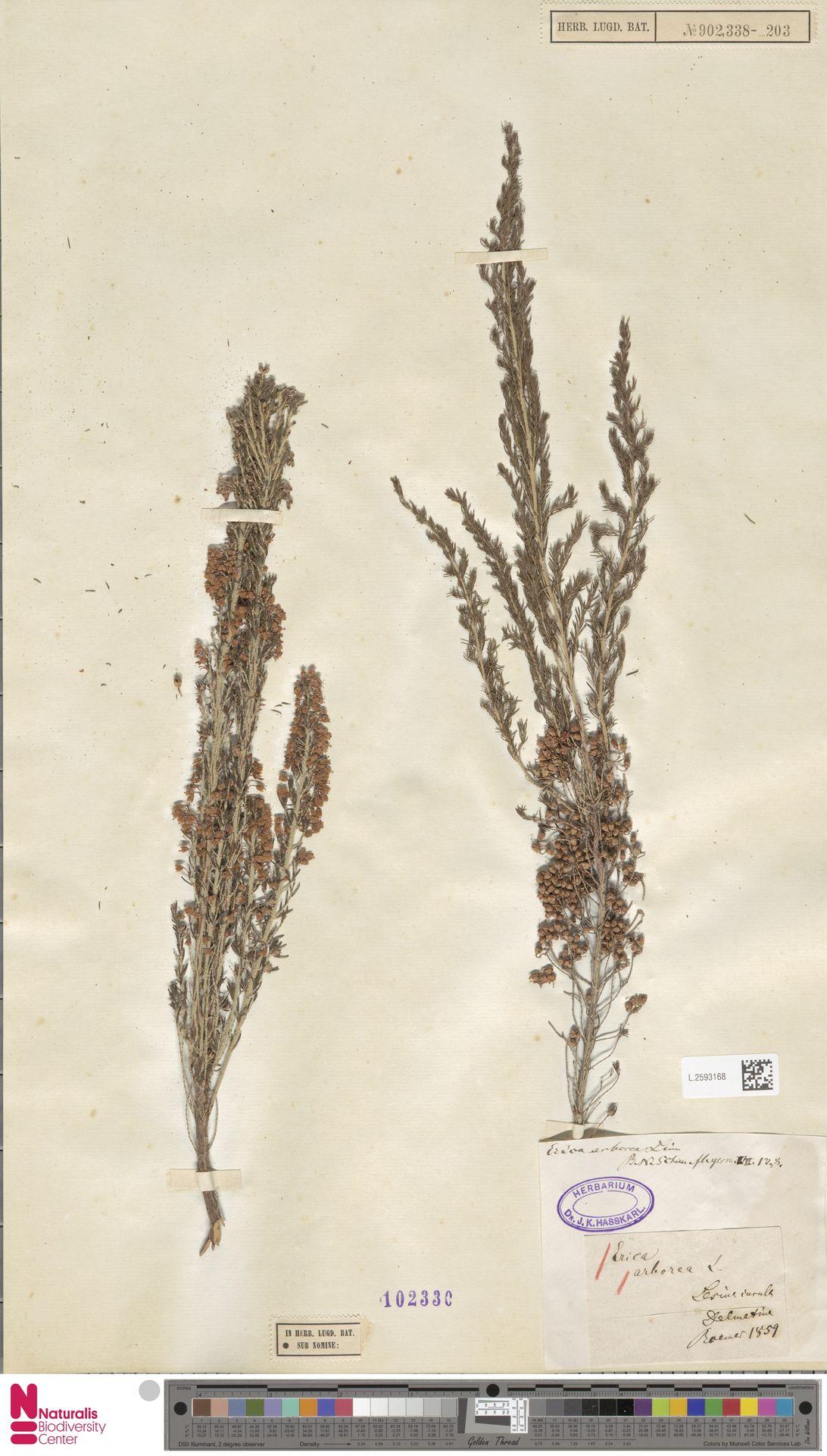 L.2593168 | Erica arborea L.