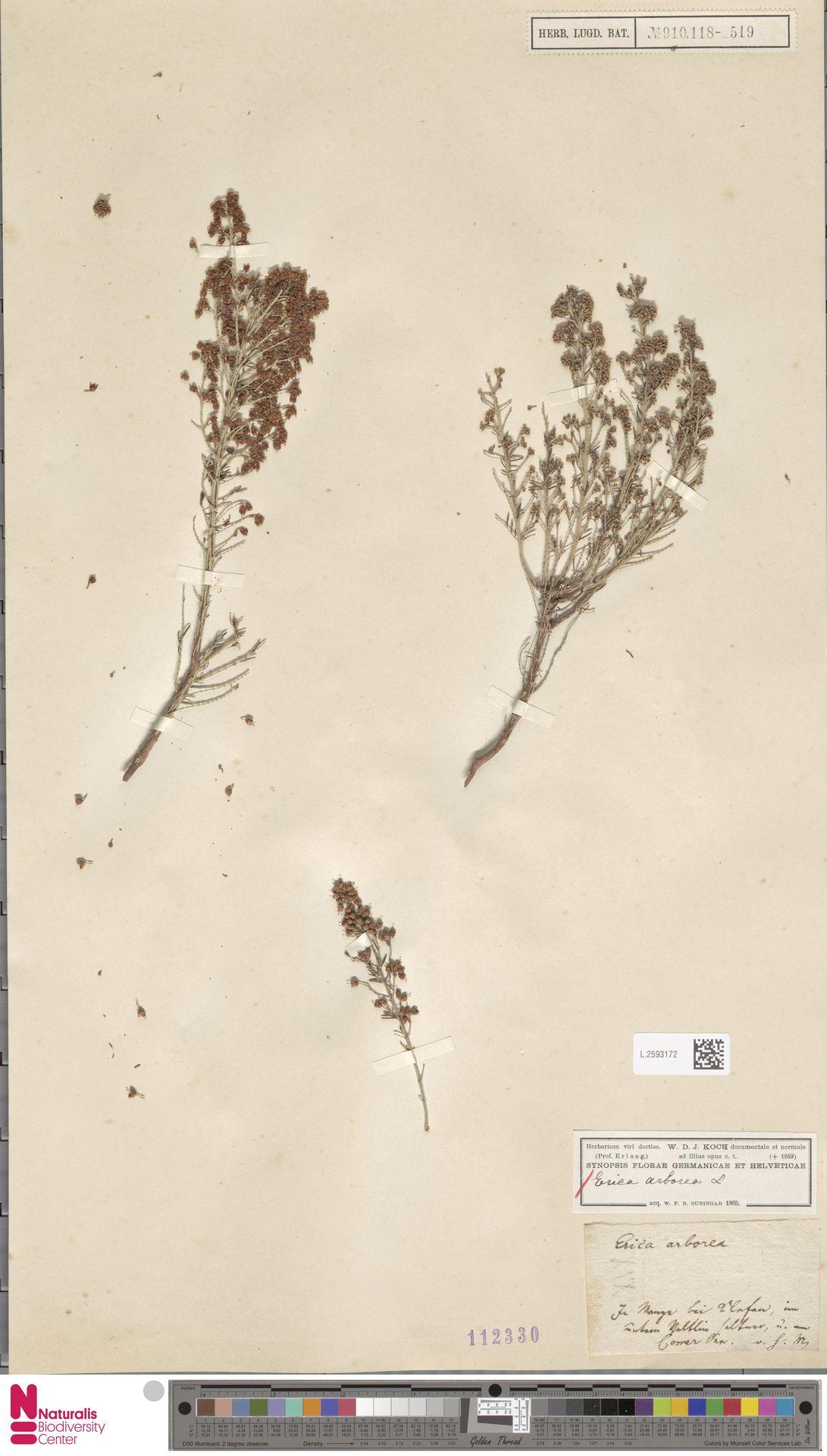 L.2593172 | Erica arborea L.