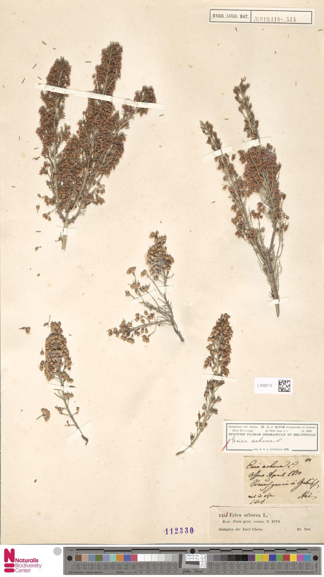L.2593173 | Erica arborea L.