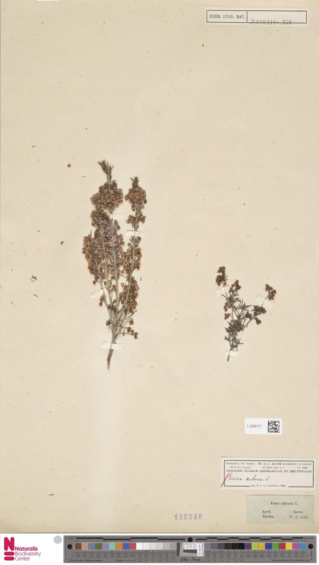 L.2593177 | Erica arborea L.