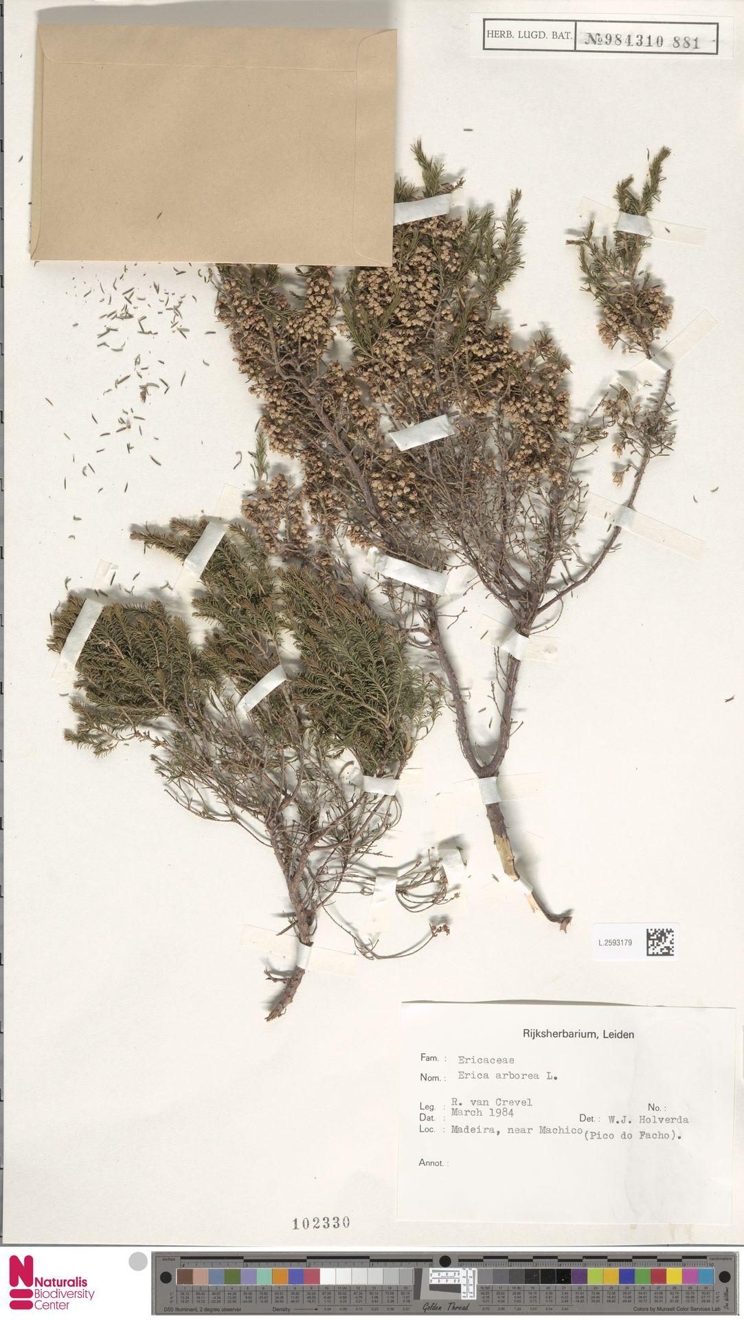L.2593179 | Erica arborea L.