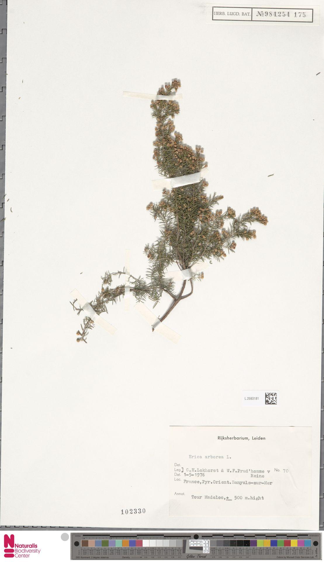 L.2593181 | Erica arborea L.