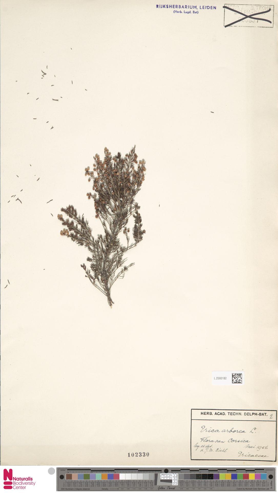 L.2593182 | Erica arborea L.