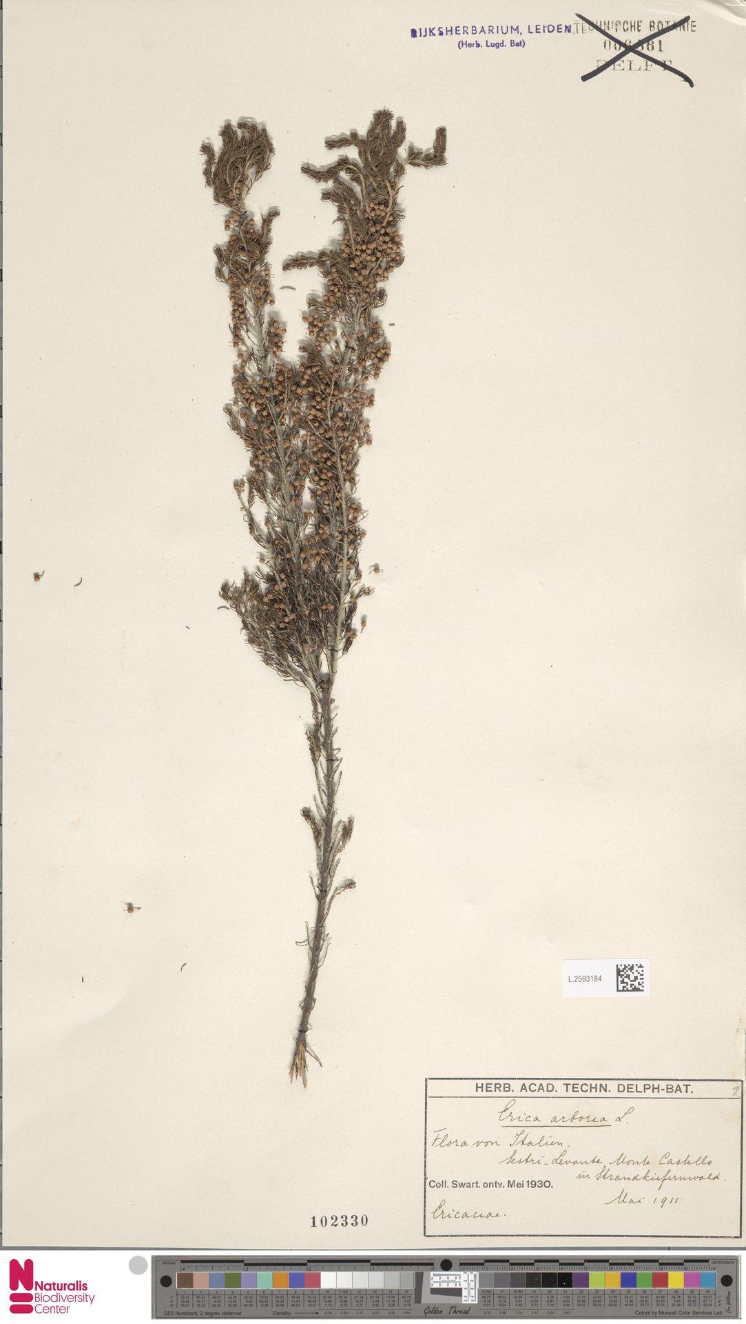 L.2593184 | Erica arborea L.