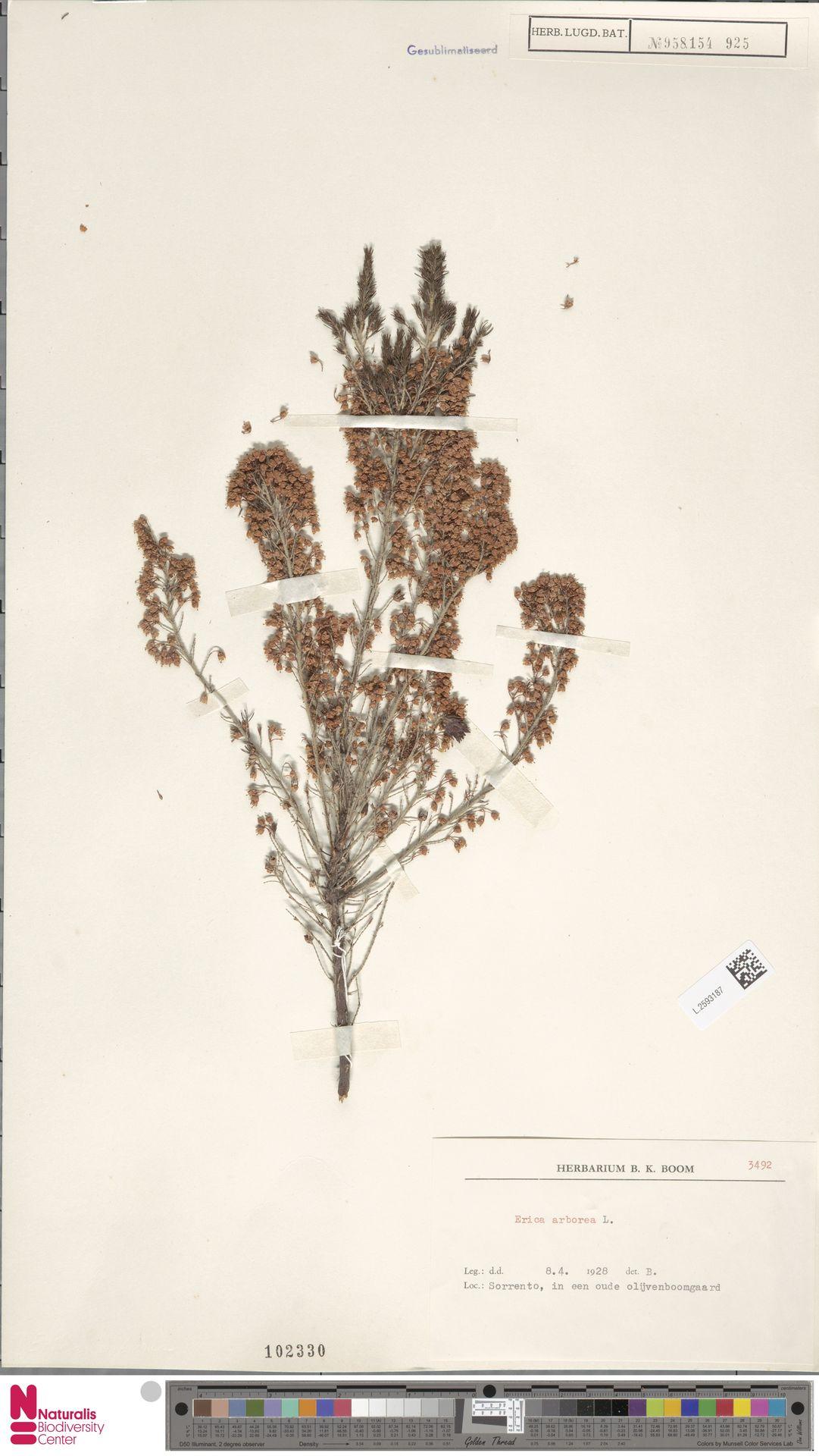 L.2593187 | Erica arborea L.