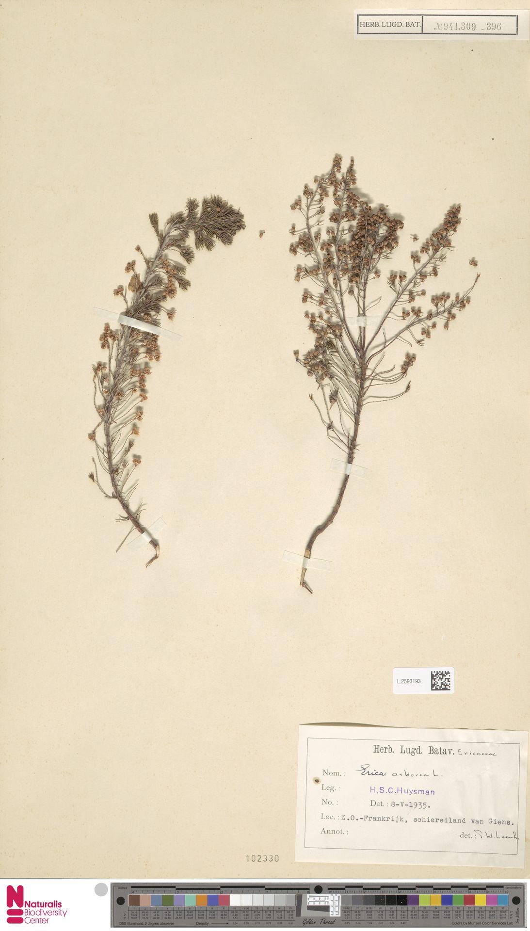L.2593193 | Erica arborea L.