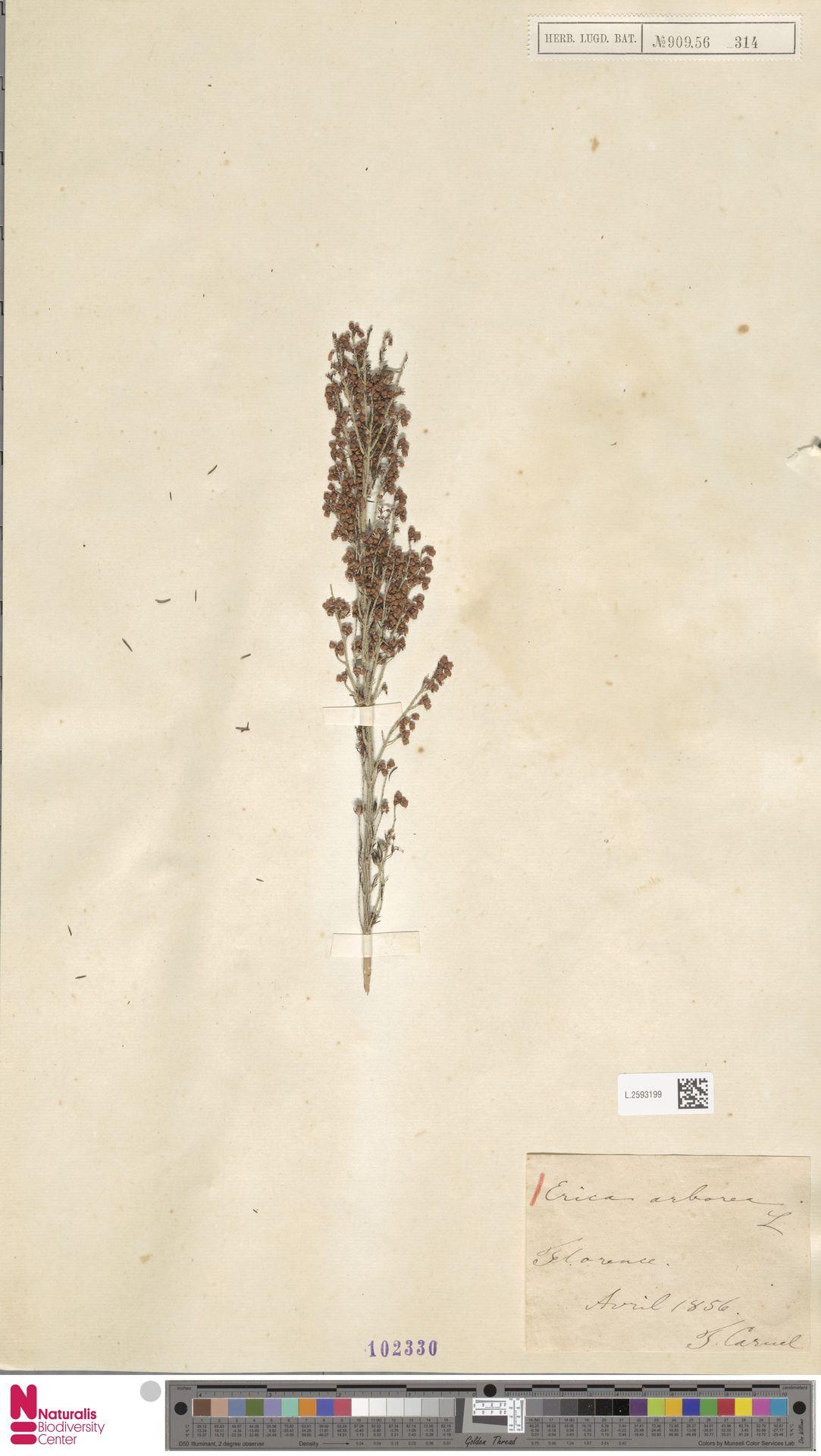 L.2593199 | Erica arborea L.