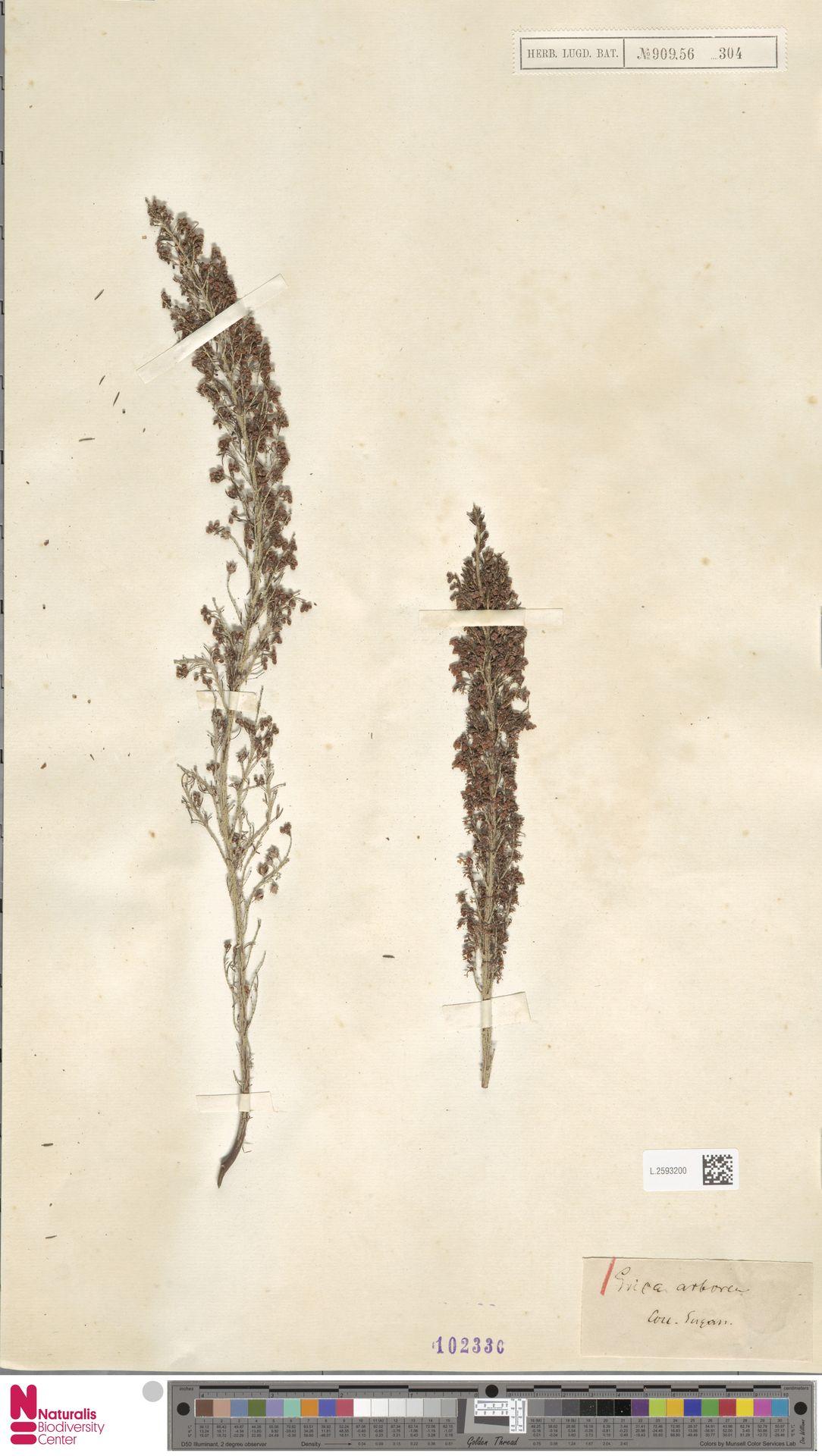 L.2593200 | Erica arborea L.