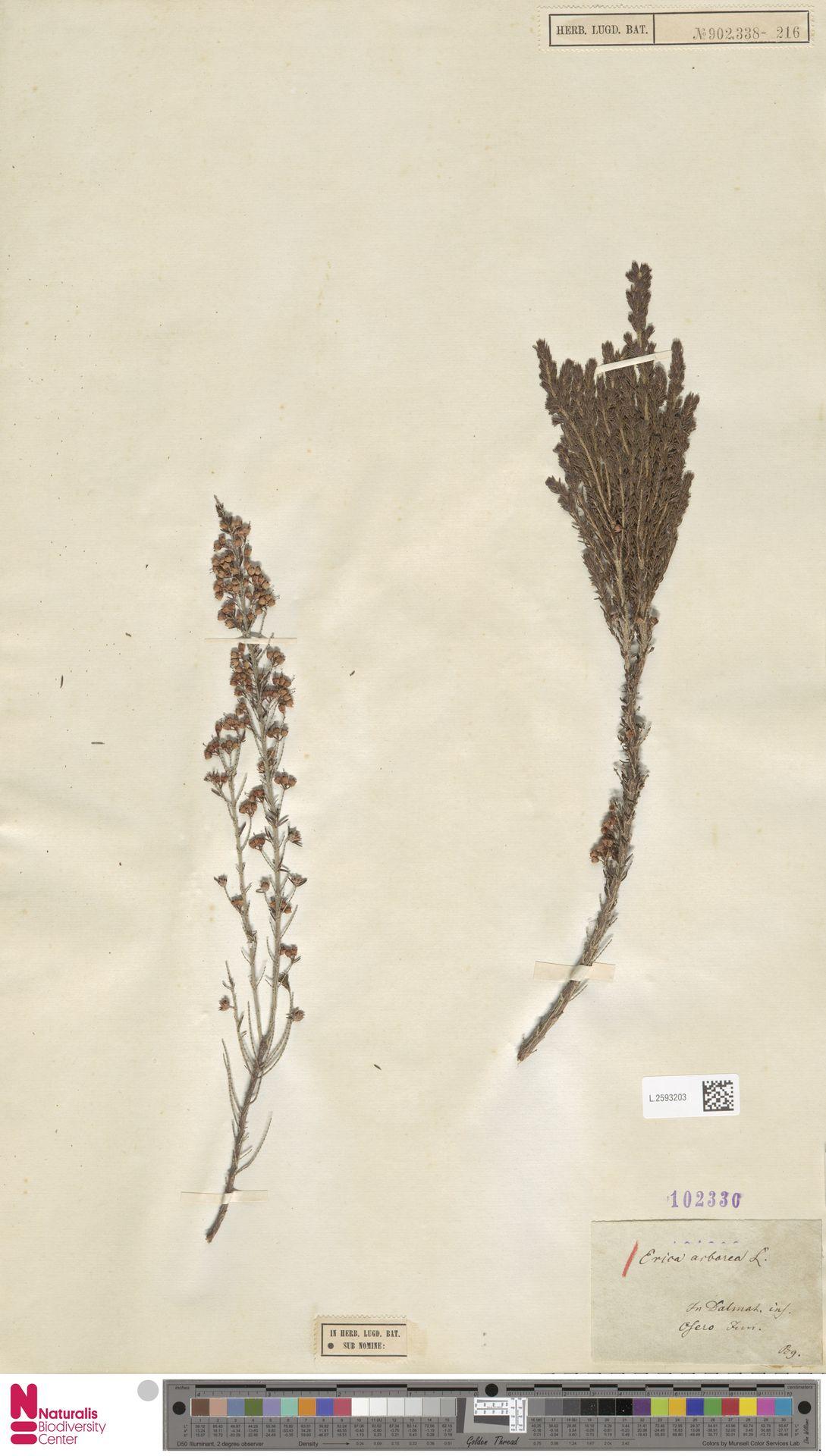 L.2593203 | Erica arborea L.