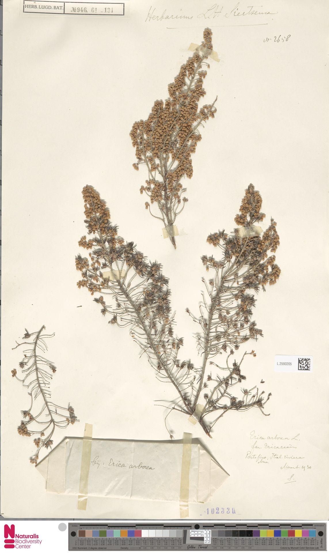 L.2593205 | Erica arborea L.
