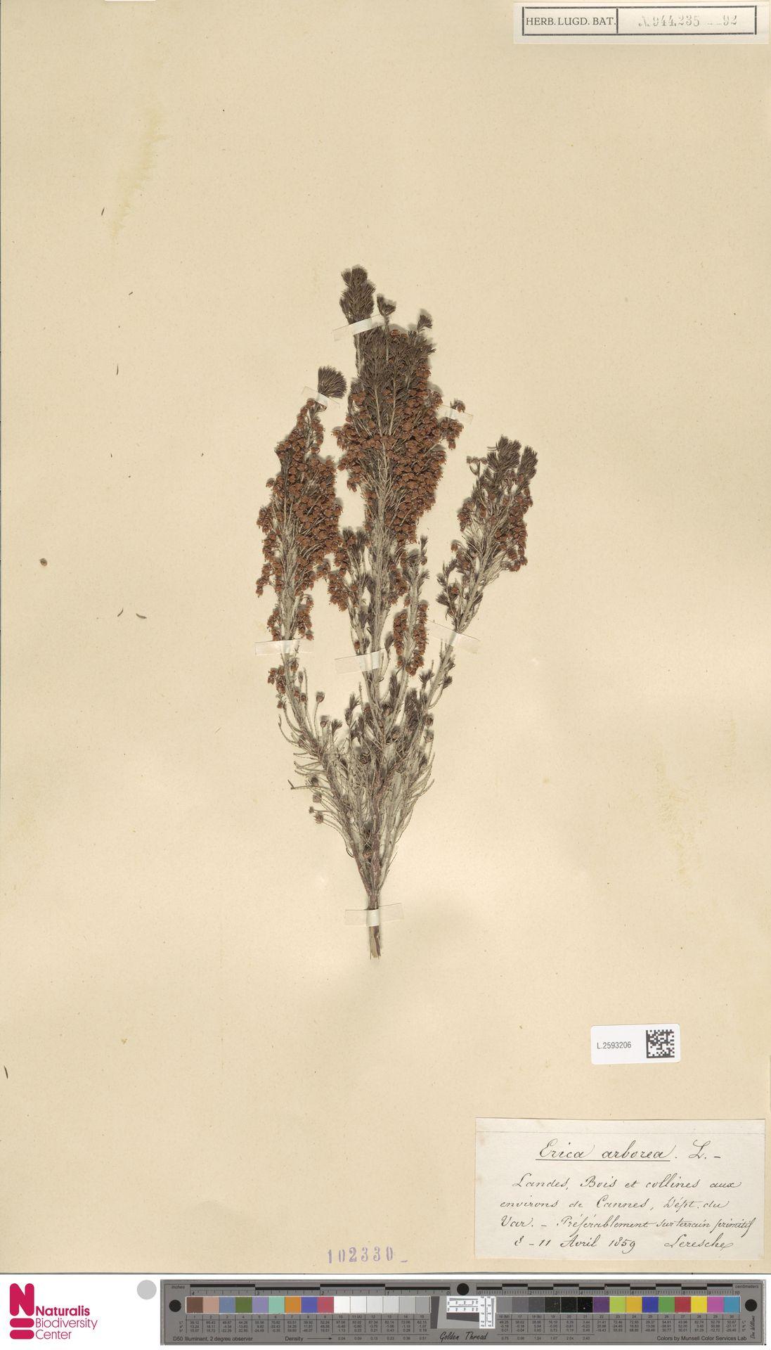 L.2593206 | Erica arborea L.
