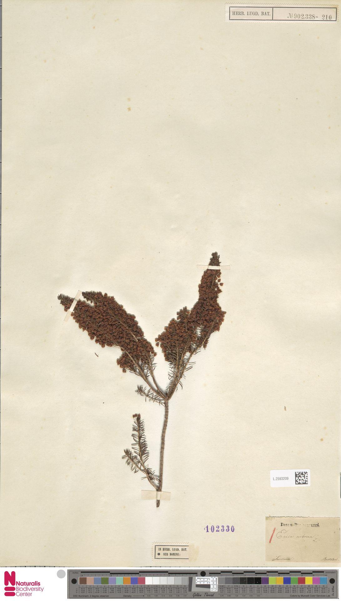 L.2593209 | Erica arborea L.