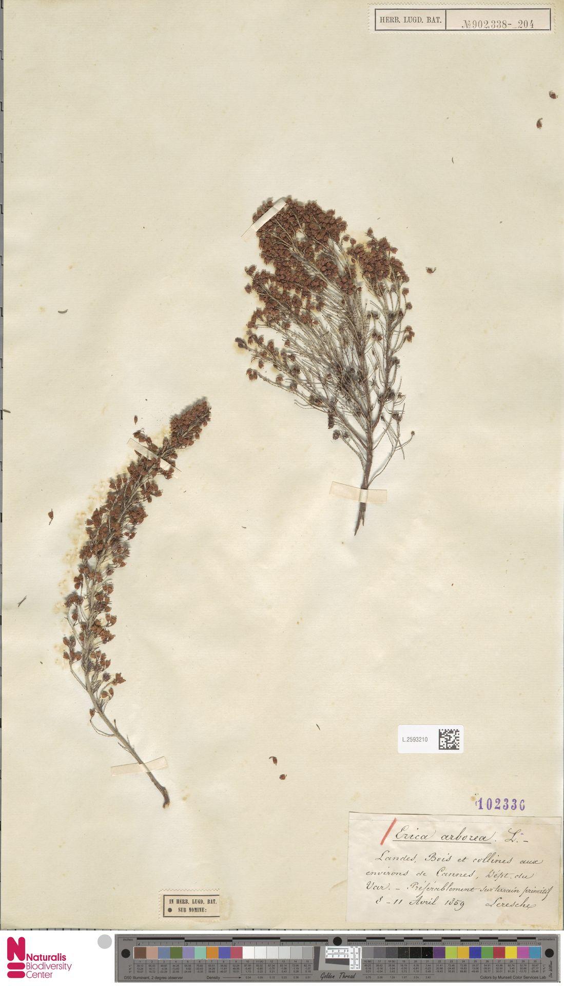 L.2593210 | Erica arborea L.