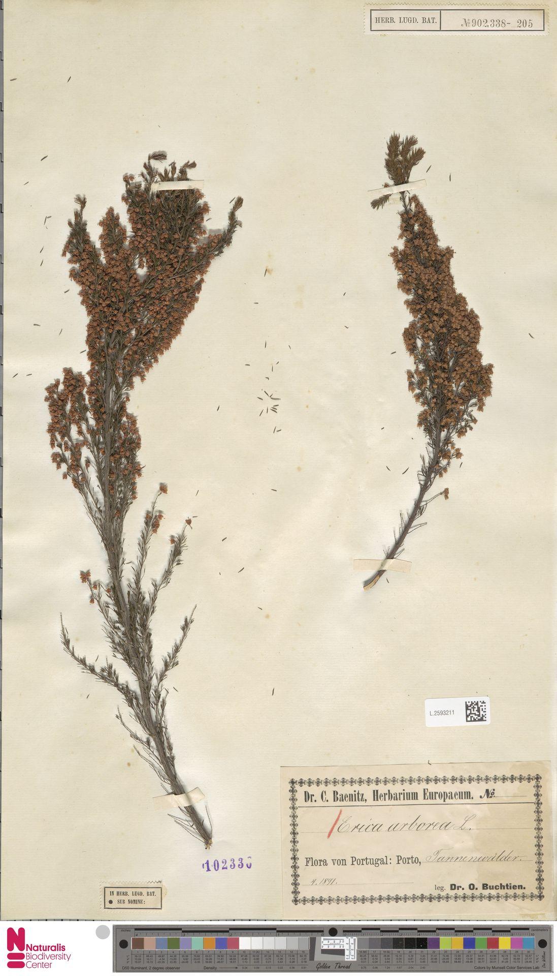 L.2593211 | Erica arborea L.