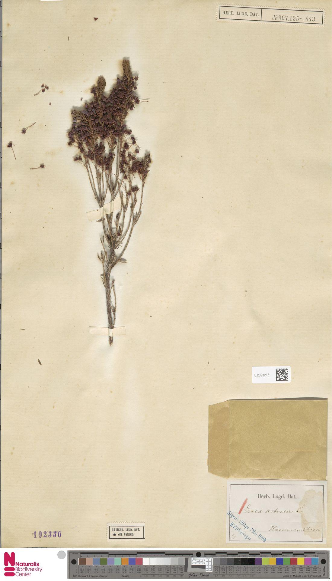 L.2593215 | Erica arborea L.