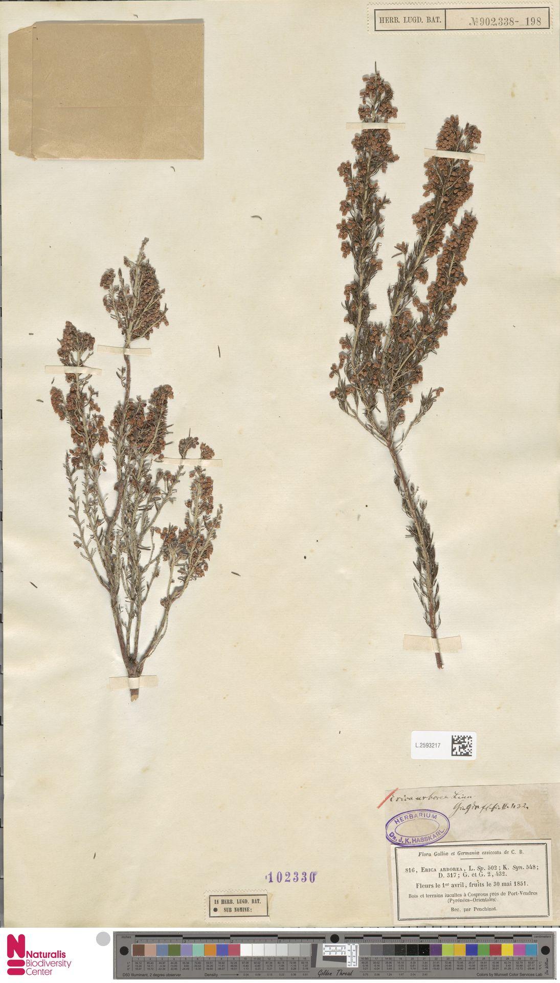 L.2593217 | Erica arborea L.