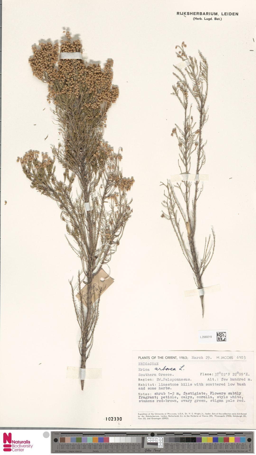 L.2593219 | Erica arborea L.