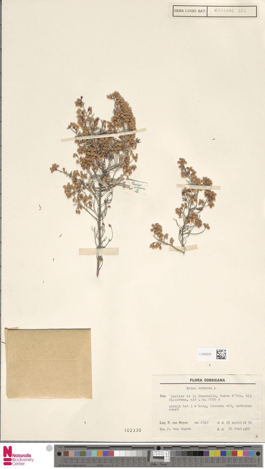 L.2593222 | Erica arborea L.
