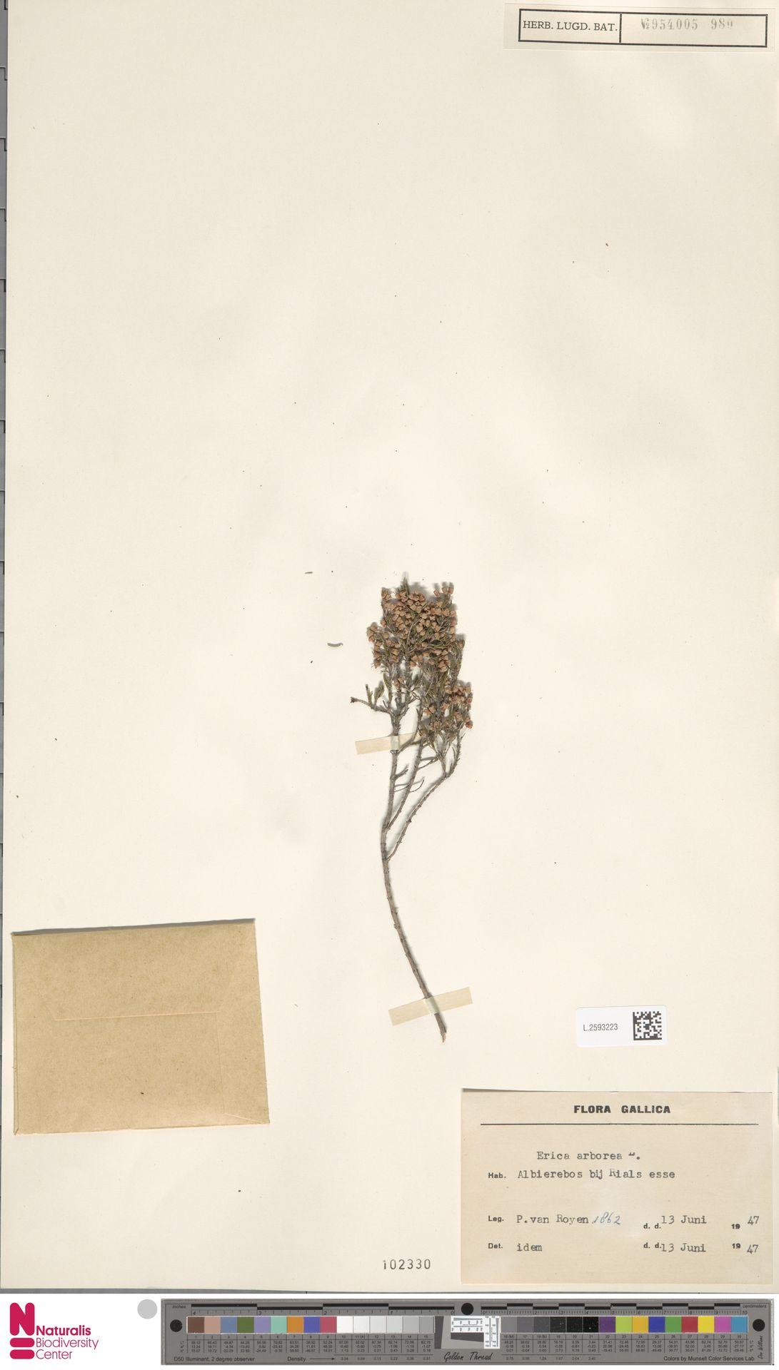 L.2593223 | Erica arborea L.
