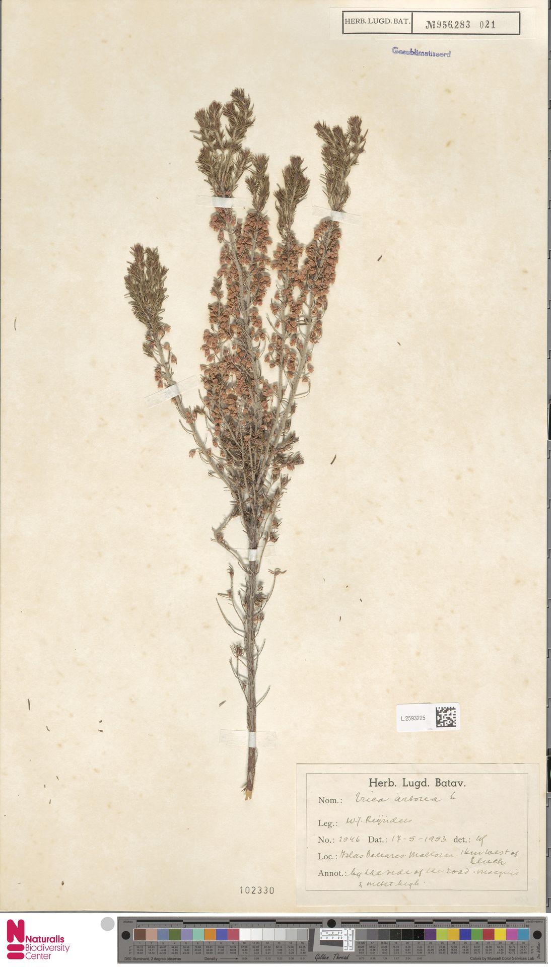 L.2593225 | Erica arborea L.