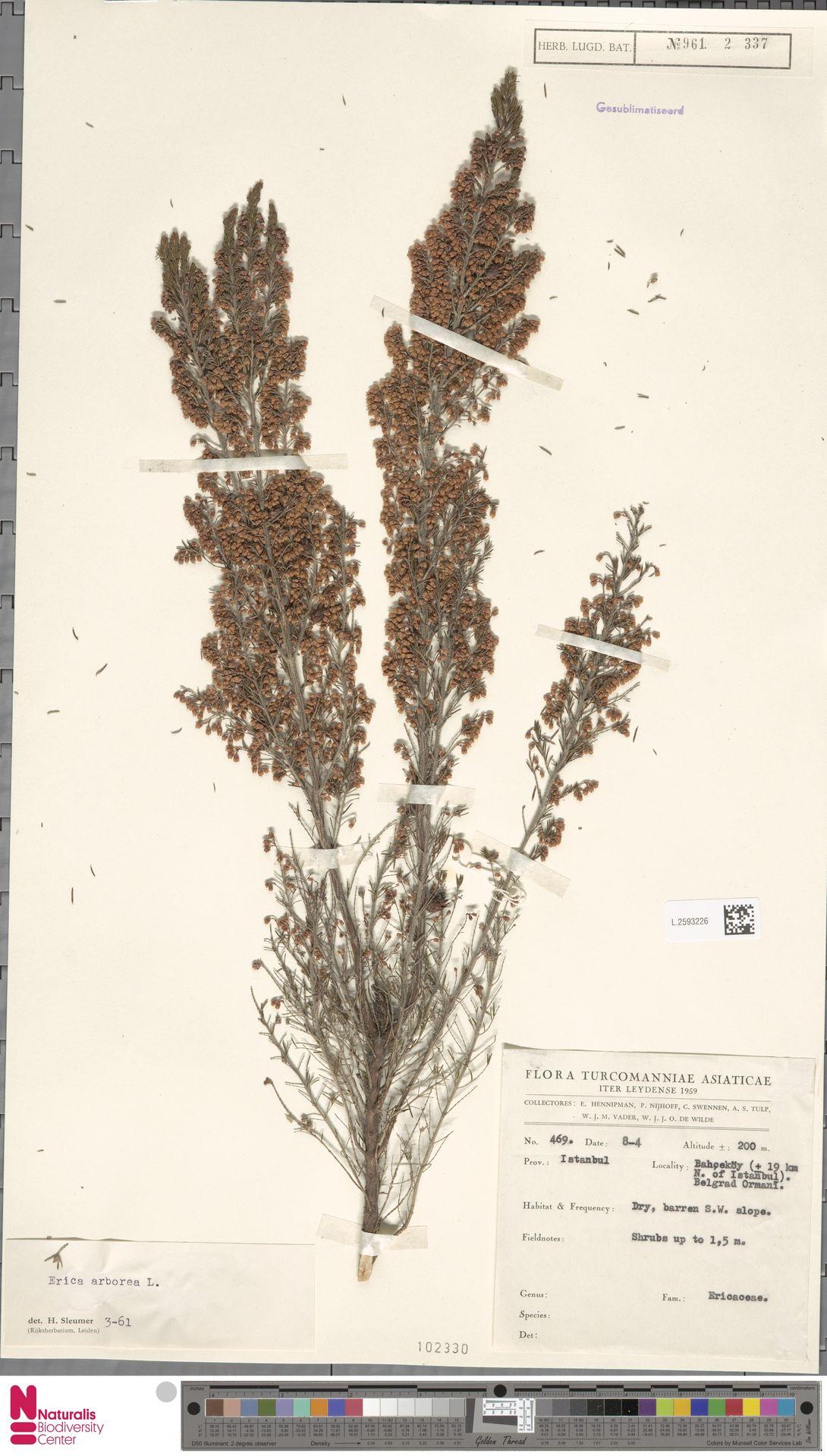 L.2593226 | Erica arborea L.