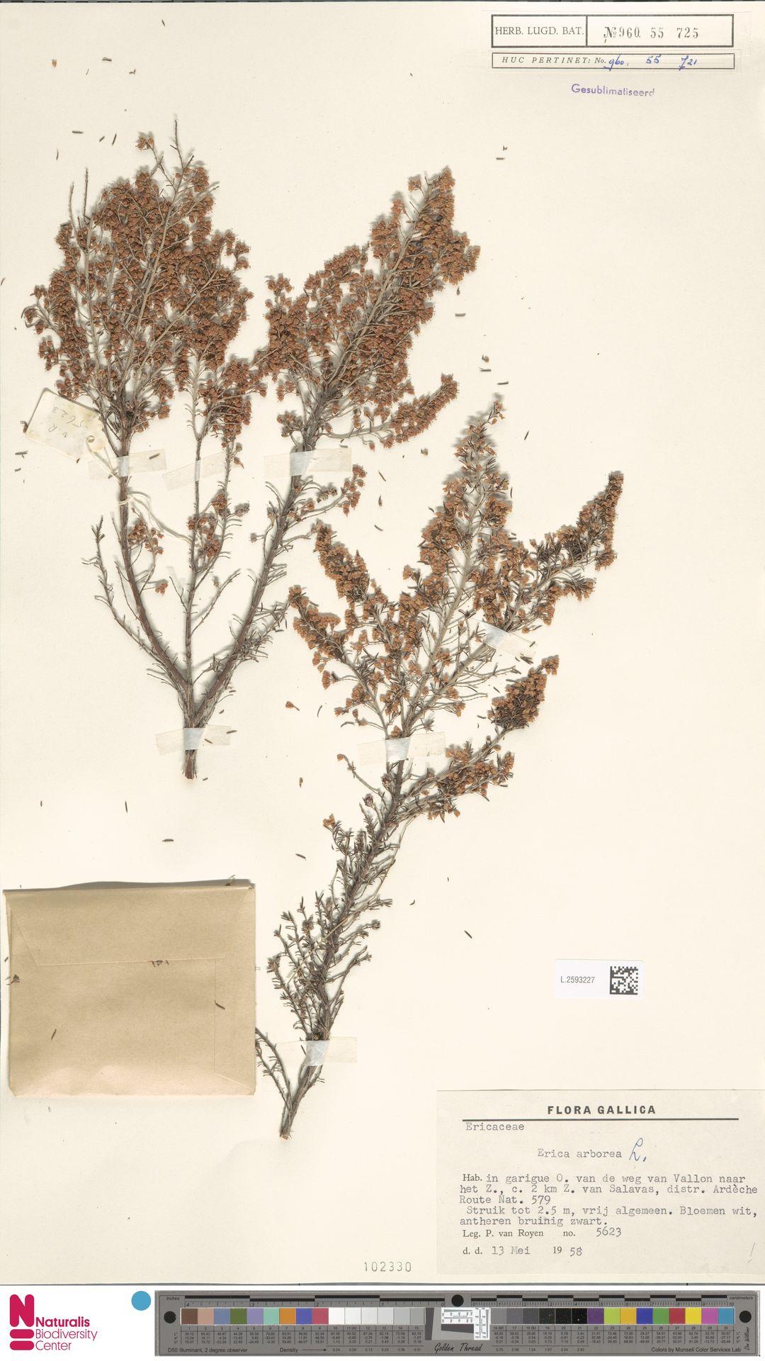 L.2593227 | Erica arborea L.