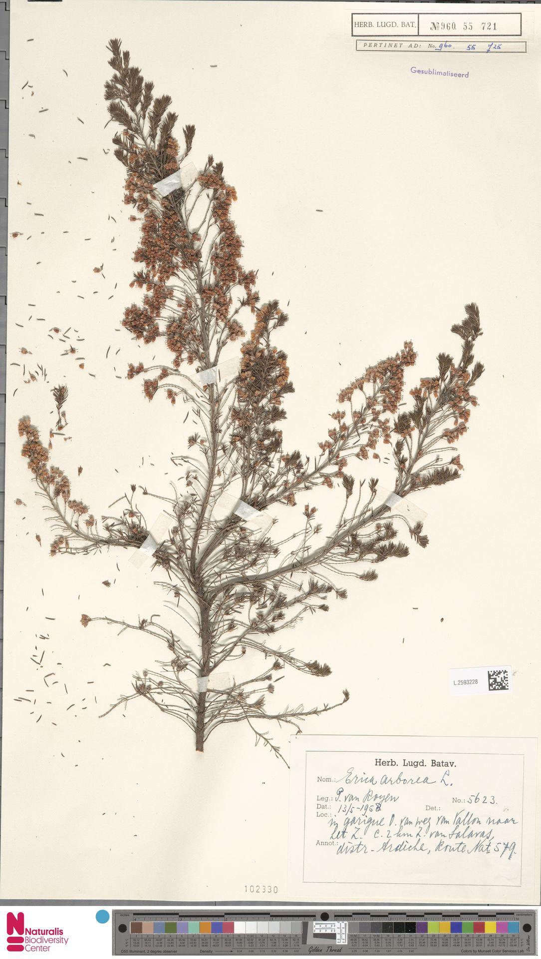L.2593228 | Erica arborea L.