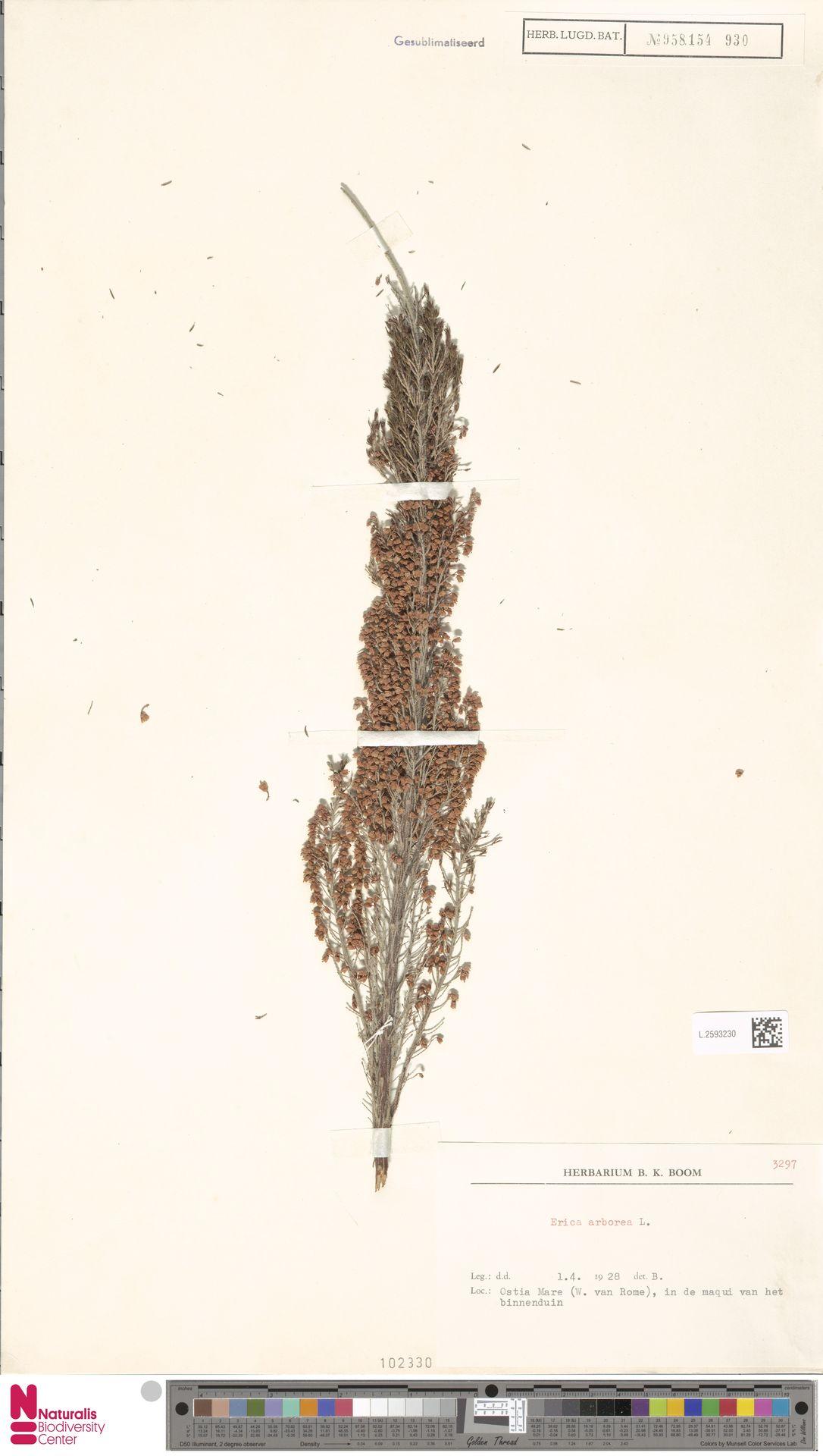 L.2593230 | Erica arborea L.