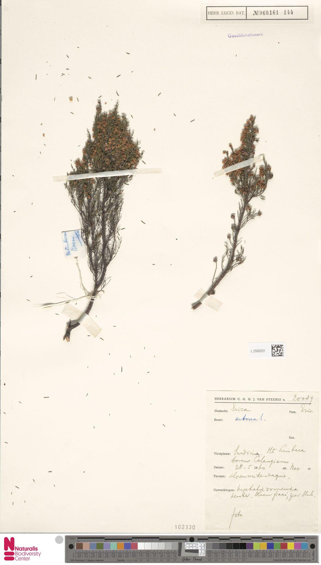 L.2593231 | Erica arborea L.