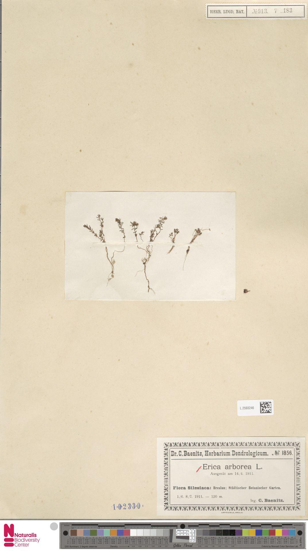 L.2593246 | Erica arborea L.