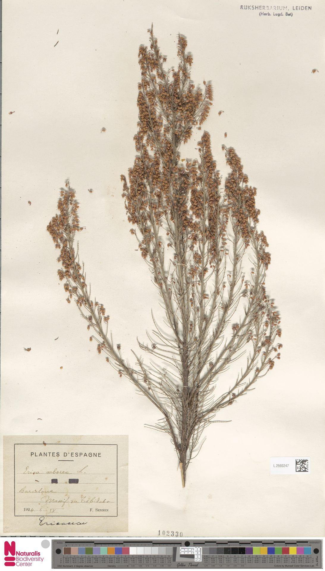 L.2593247 | Erica arborea L.