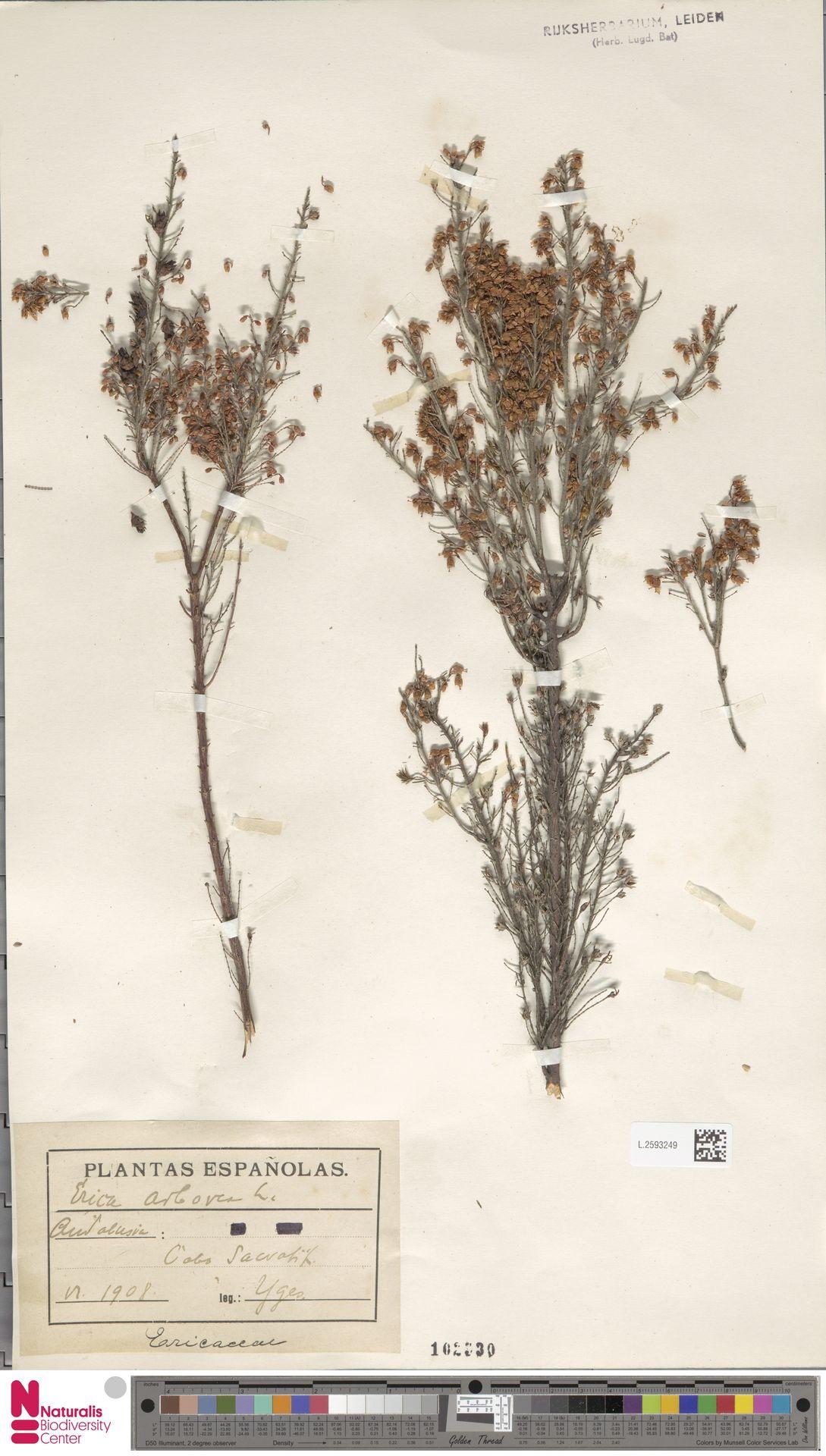 L.2593249 | Erica arborea L.